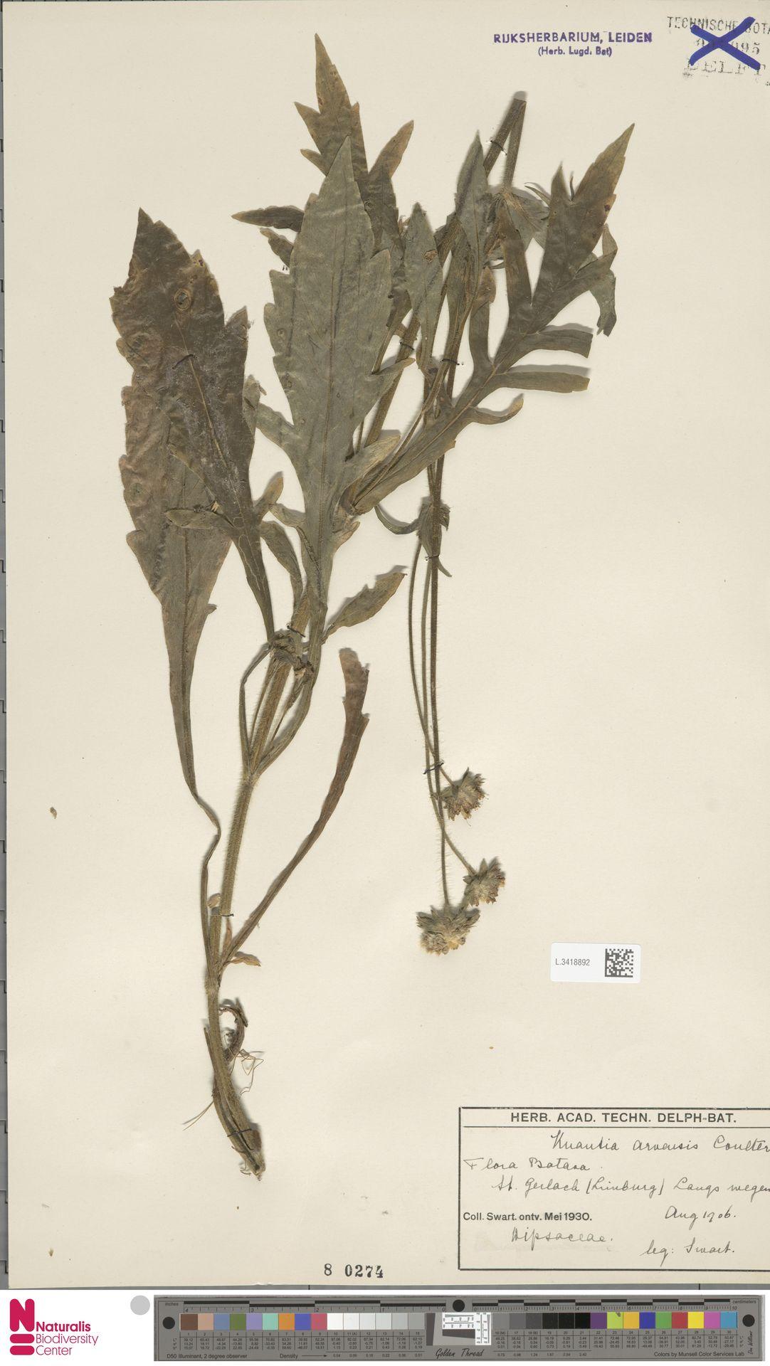 L.3418892 | Knautia arvensis (L.) Coult.