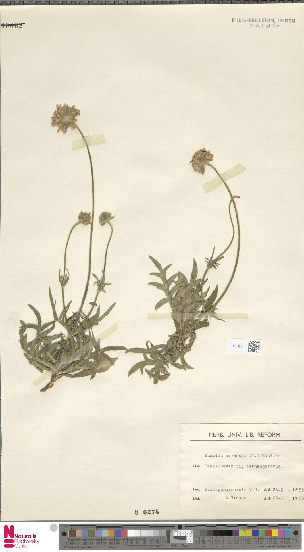 L.3418896 | Knautia arvensis (L.) Coult.