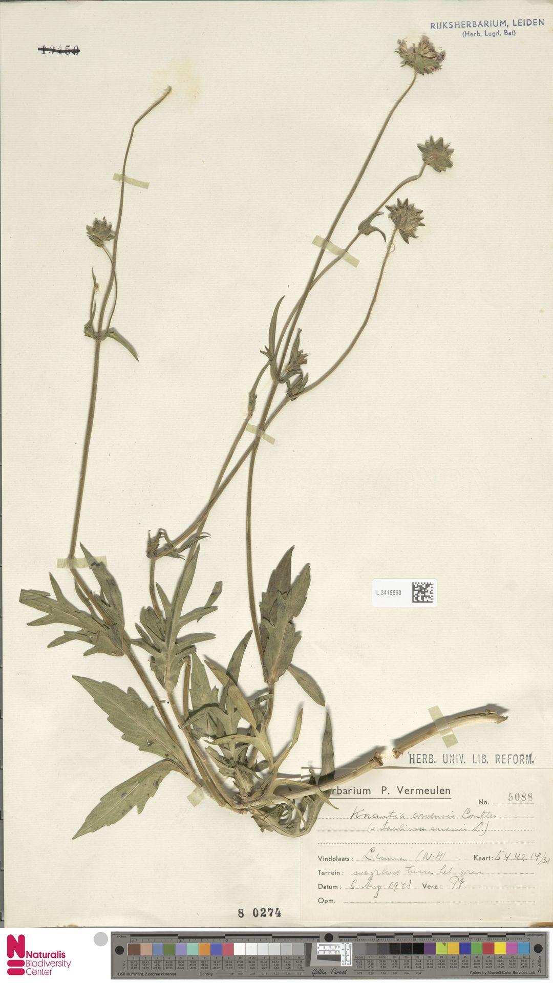 L.3418898 | Knautia arvensis (L.) Coult.