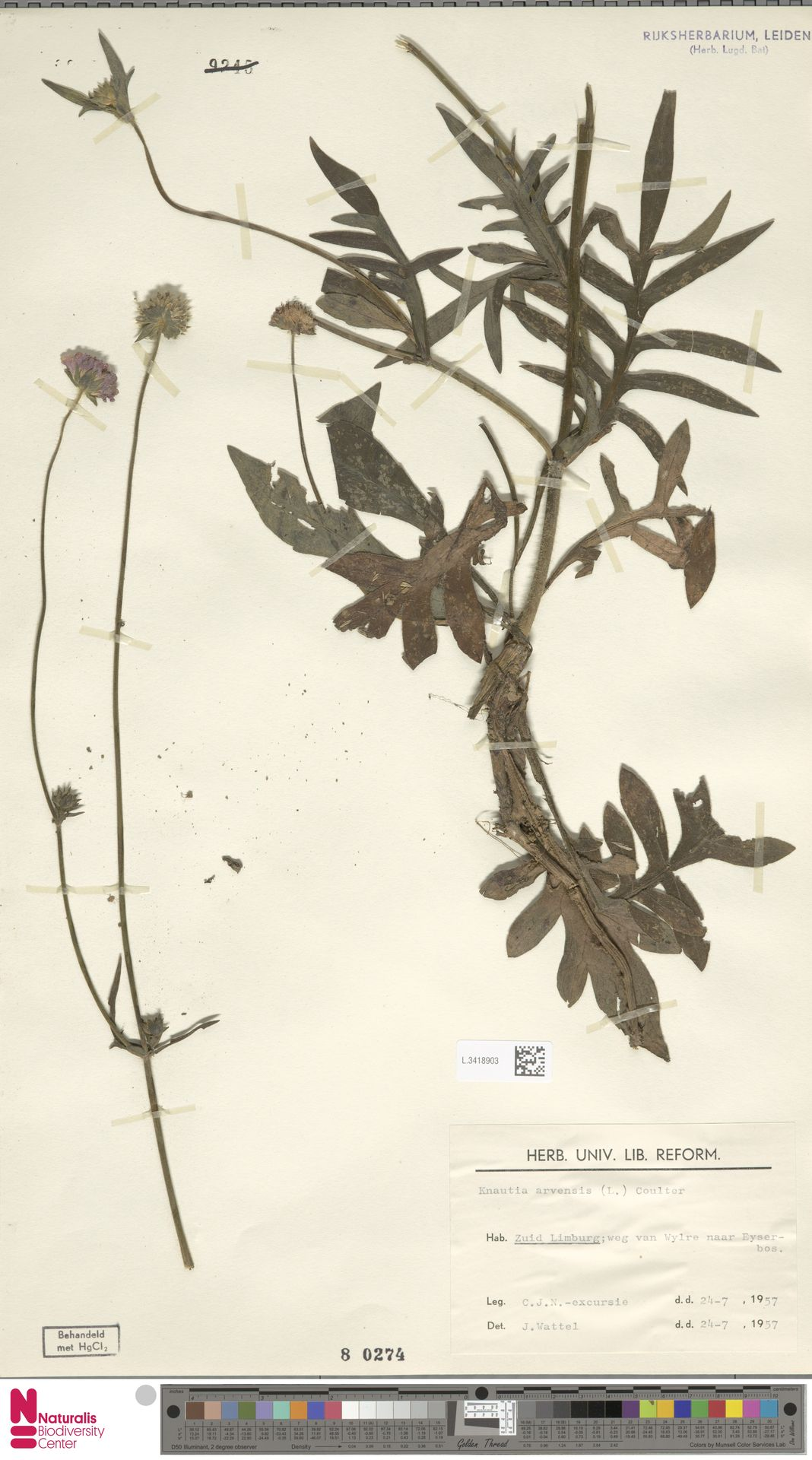 L.3418903 | Knautia arvensis (L.) Coult.