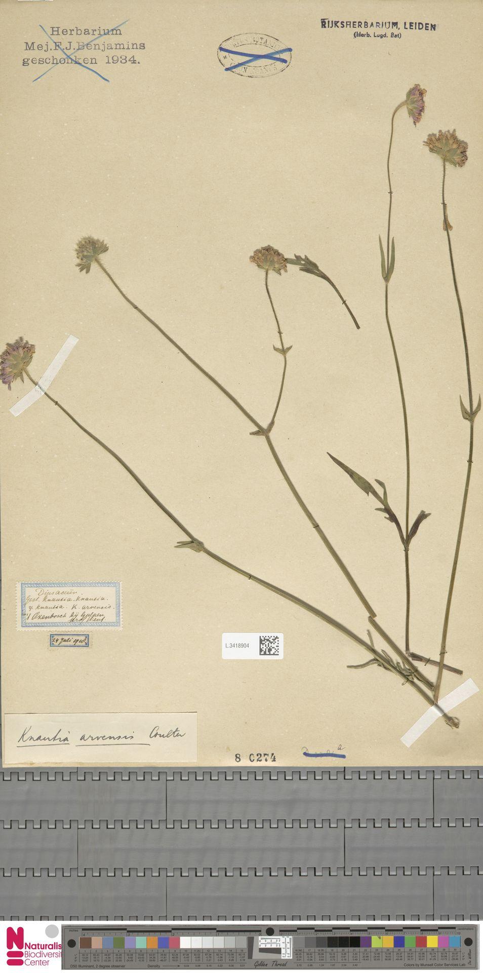 L.3418904 | Knautia arvensis (L.) Coult.