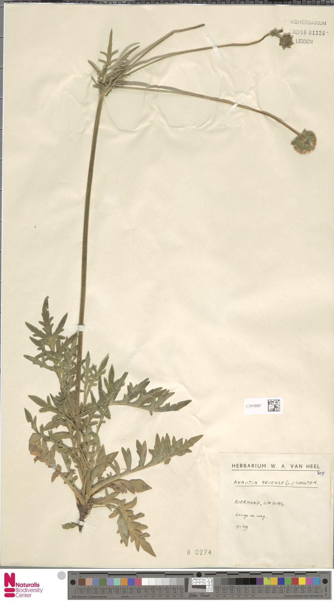 L.3418907 | Knautia arvensis (L.) Coult.