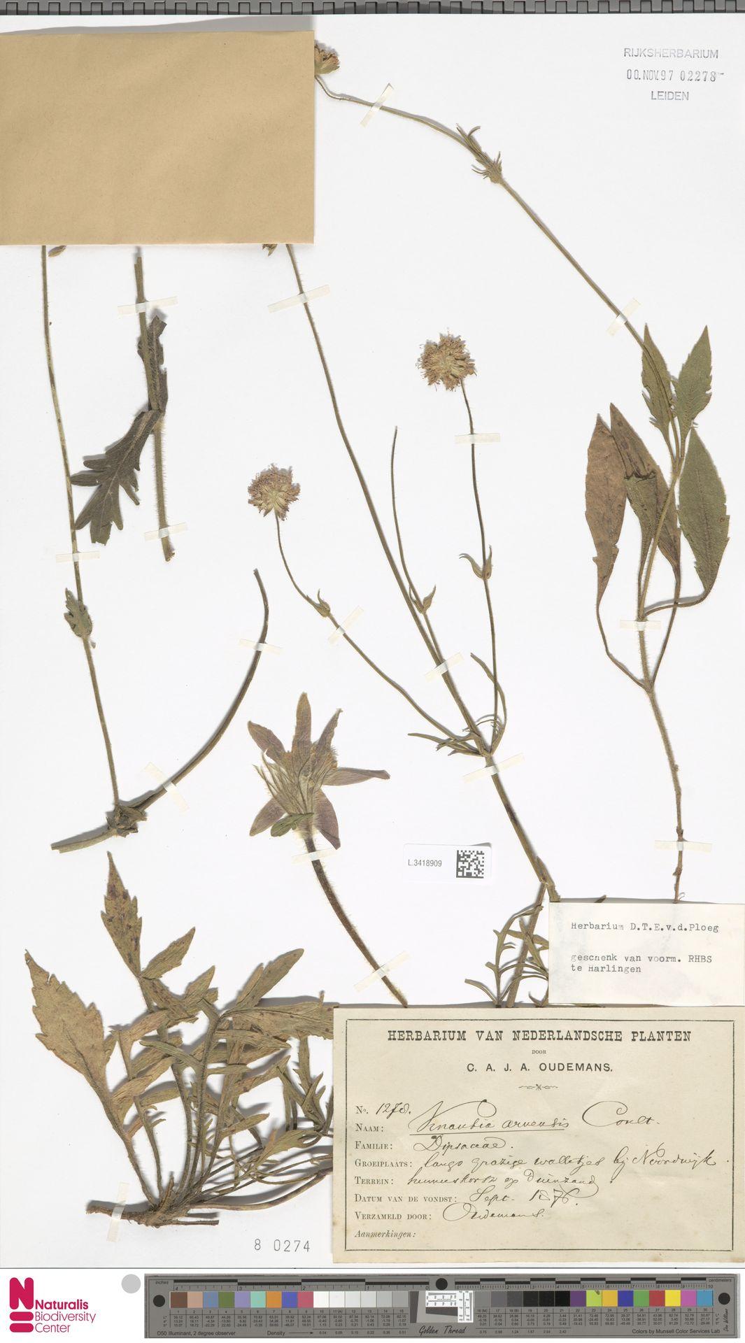L.3418909 | Knautia arvensis (L.) Coult.
