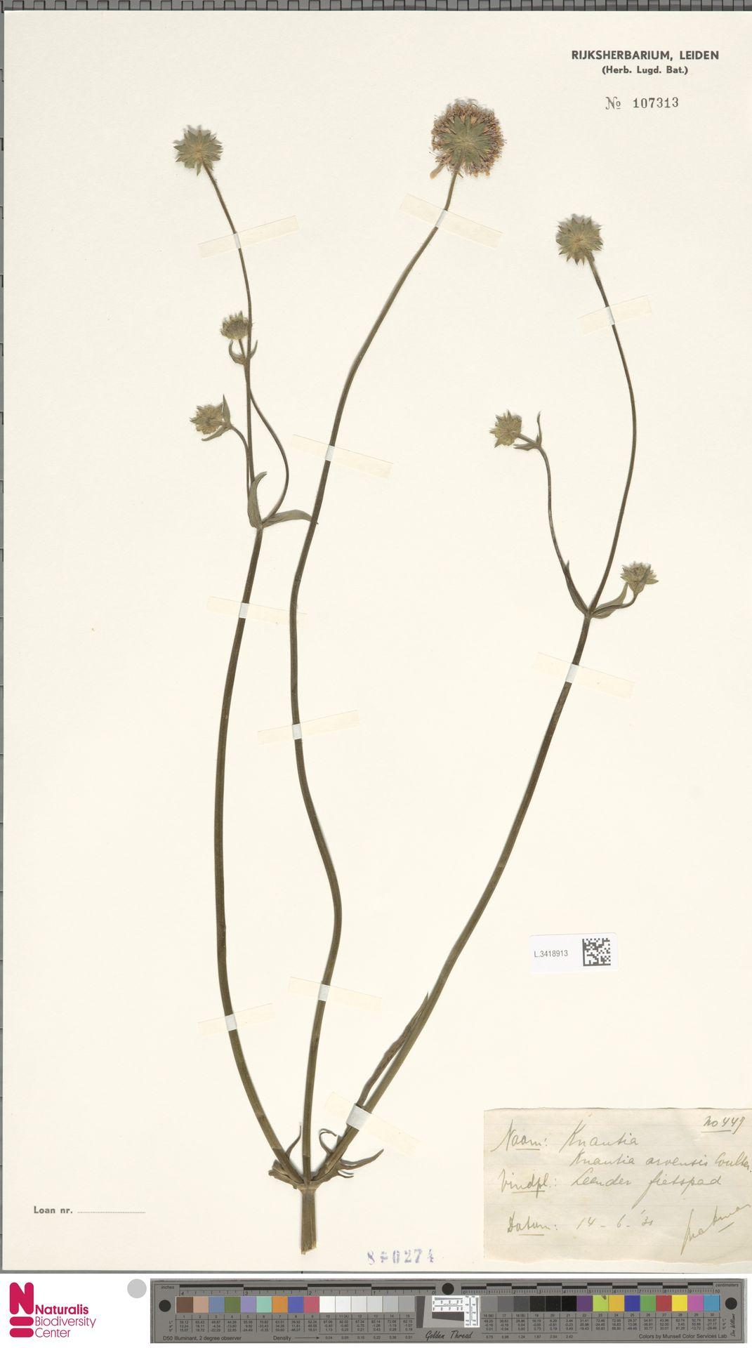 L.3418913 | Knautia arvensis (L.) Coult.