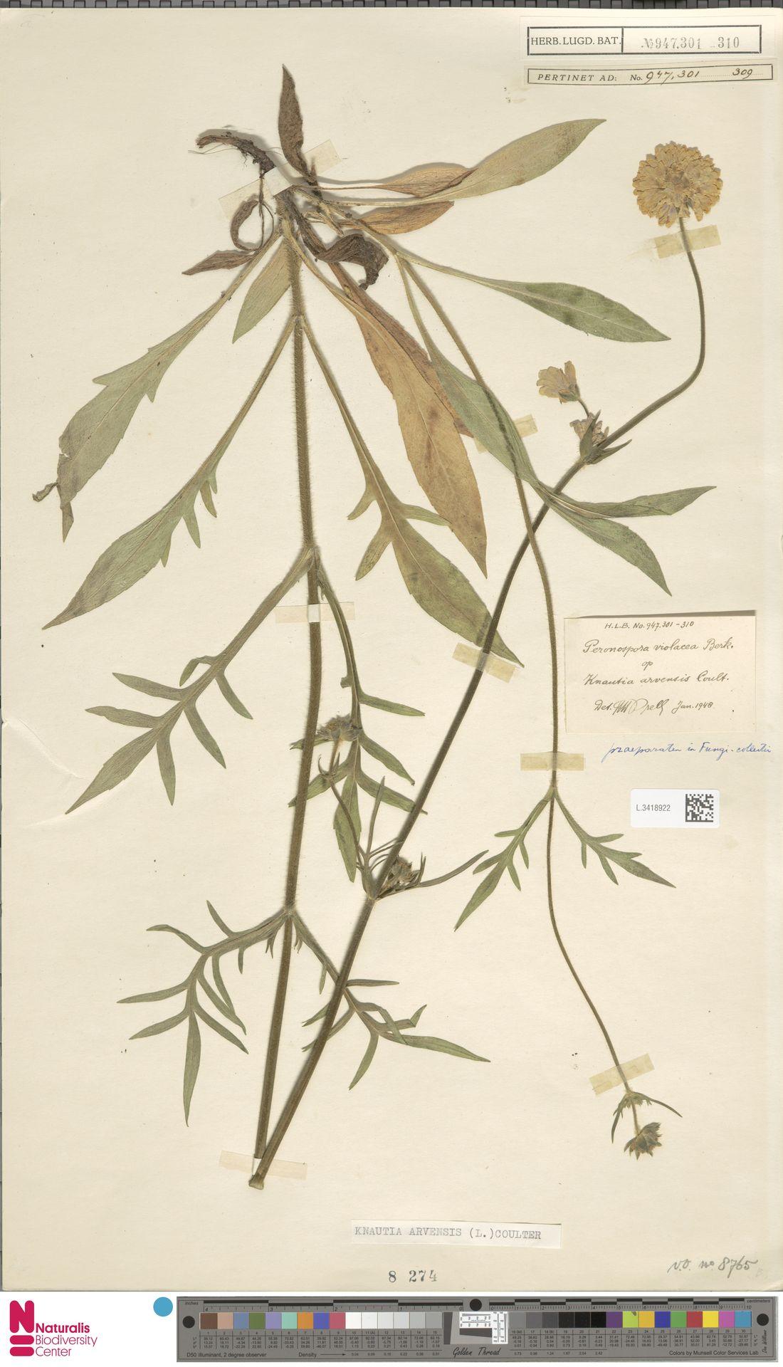 L.3418922 | Knautia arvensis (L.) Coult.
