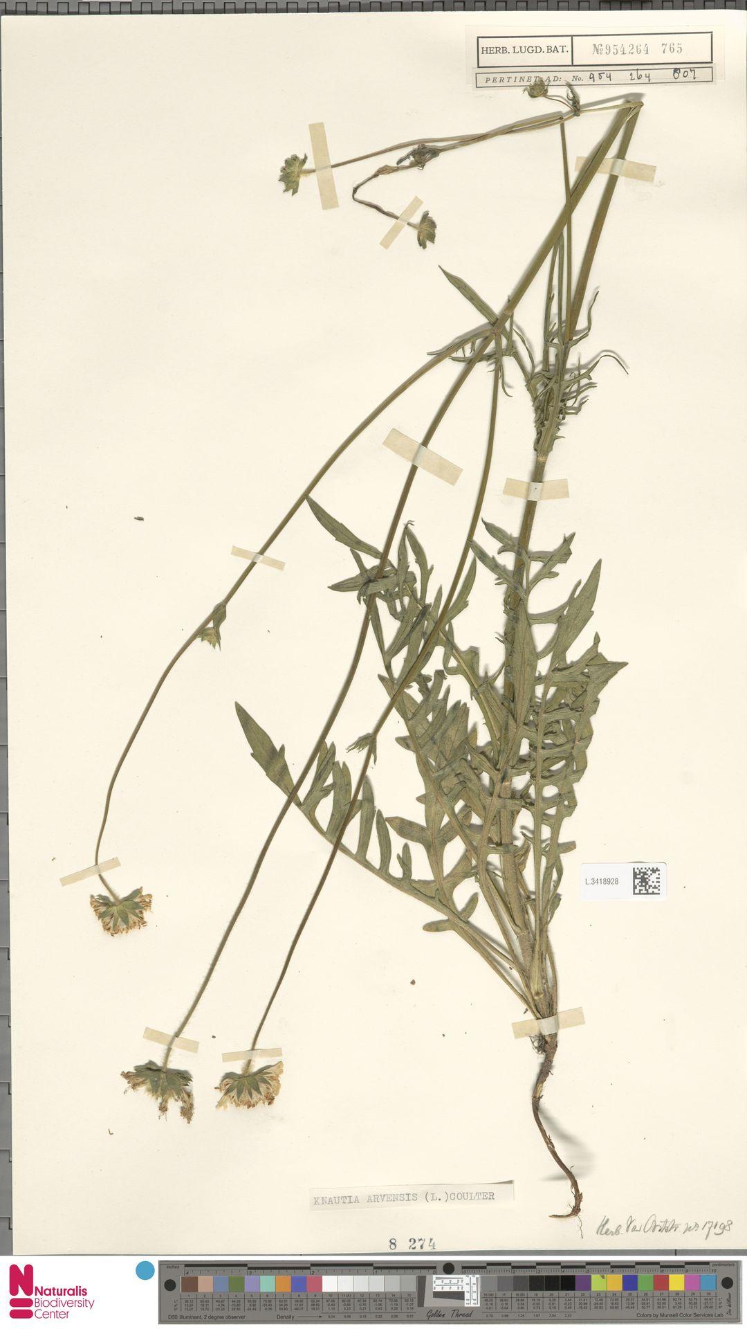 L.3418928 | Knautia arvensis (L.) Coult.