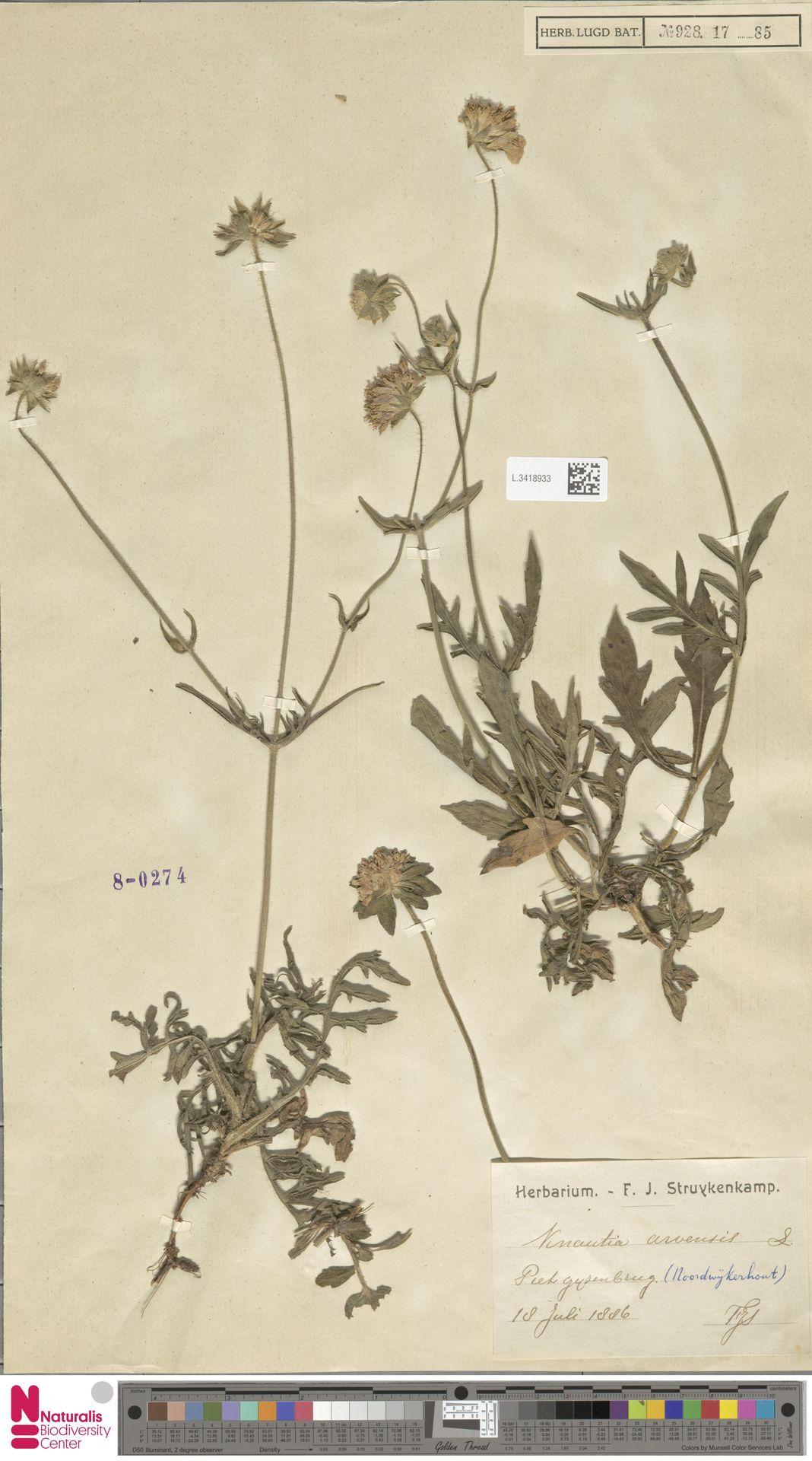 L.3418933 | Knautia arvensis (L.) Coult.
