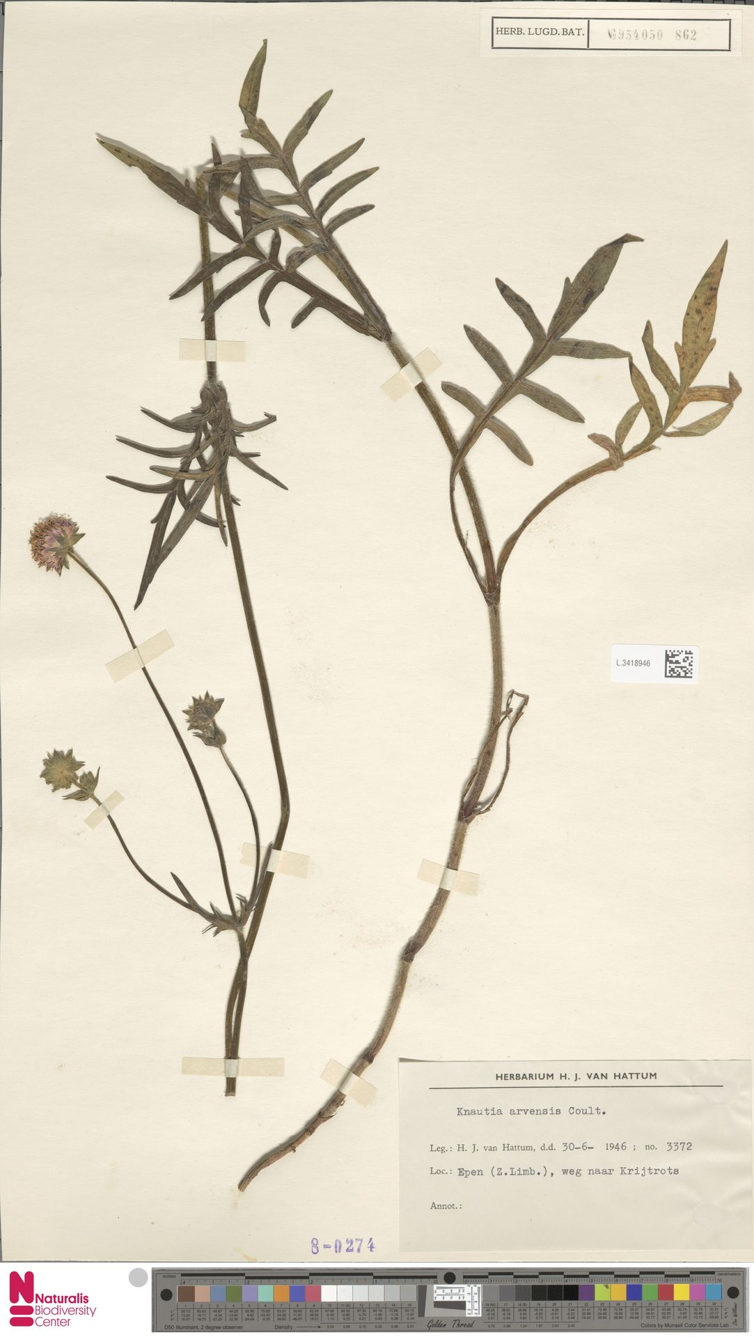 L.3418946 | Knautia arvensis (L.) Coult.