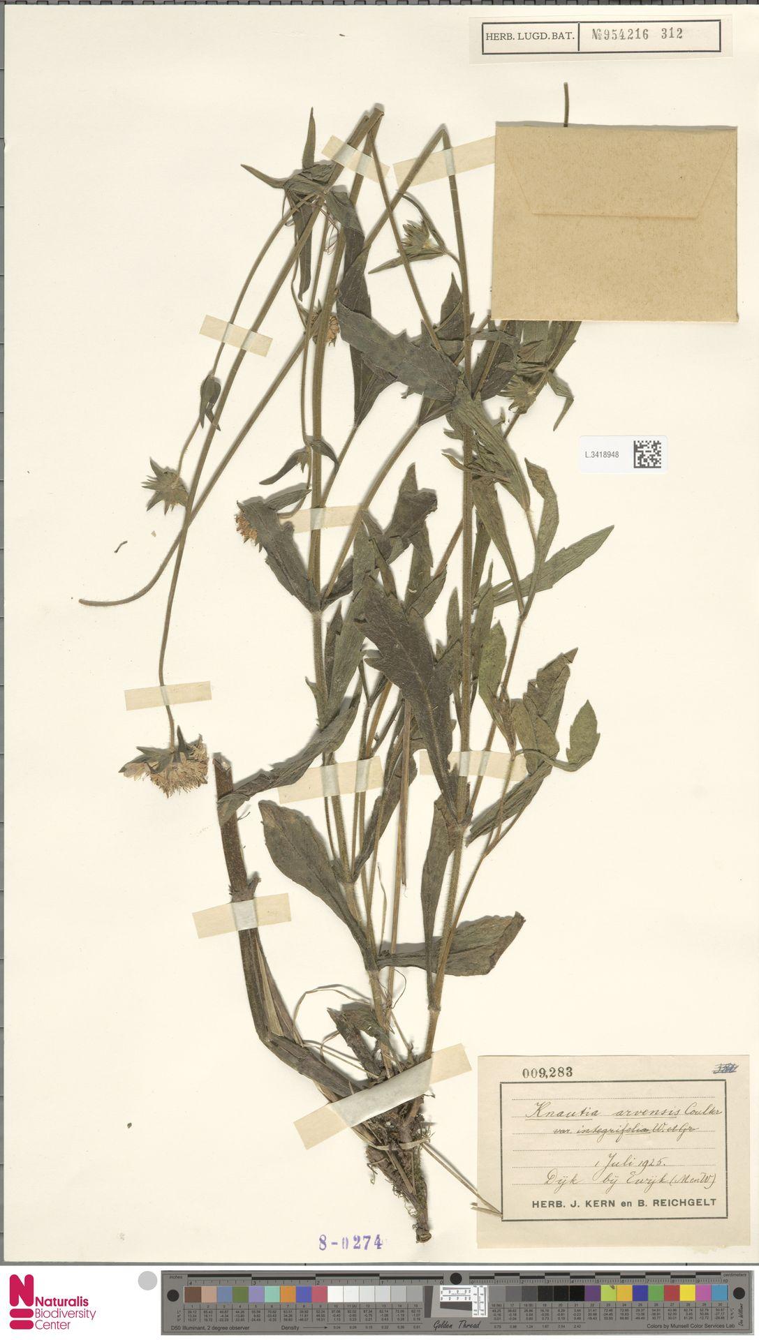 L.3418948 | Knautia arvensis (L.) Coult.