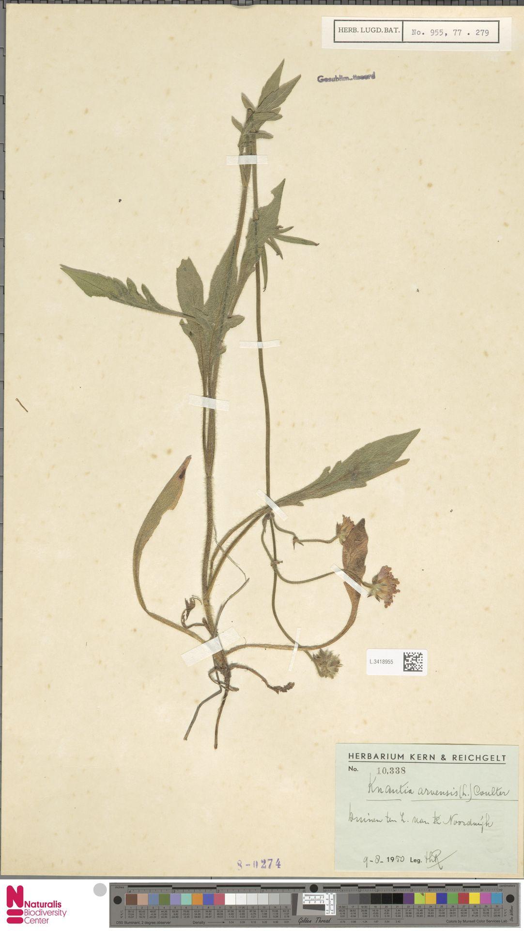 L.3418955 | Knautia arvensis (L.) Coult.
