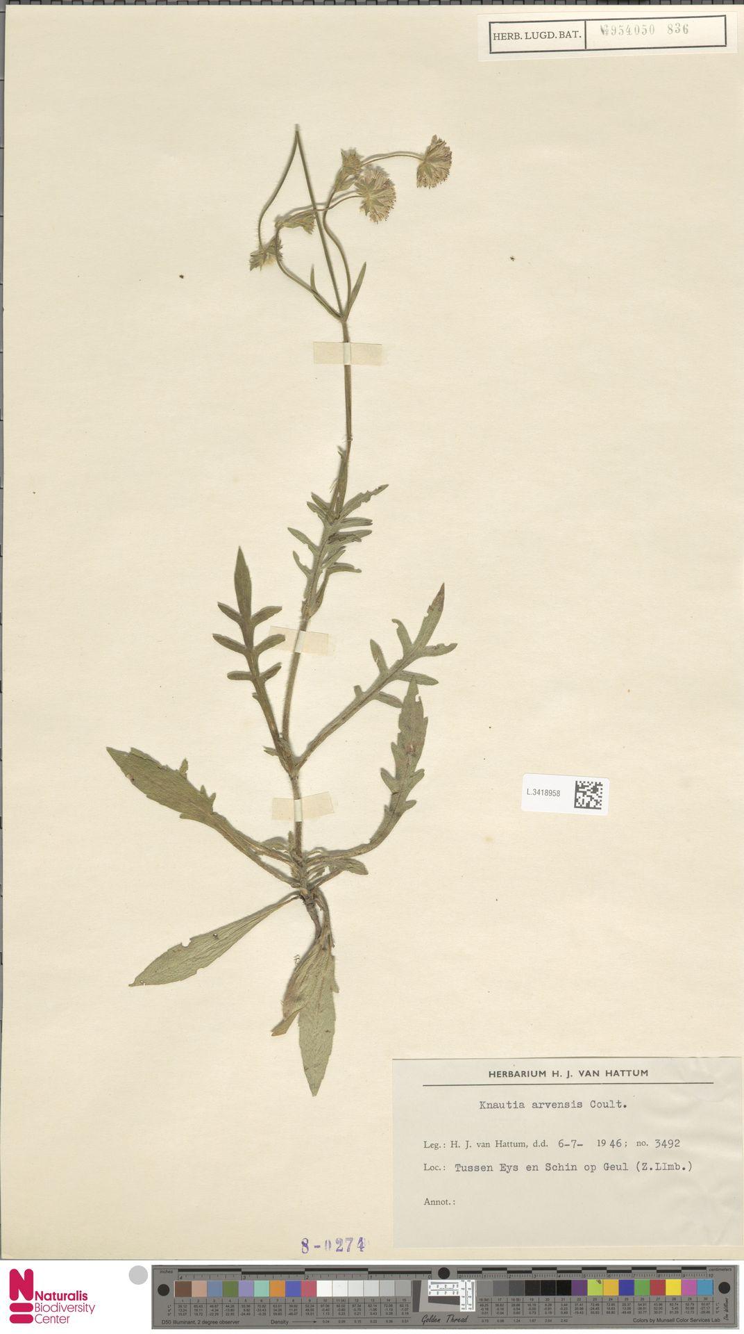 L.3418958 | Knautia arvensis (L.) Coult.