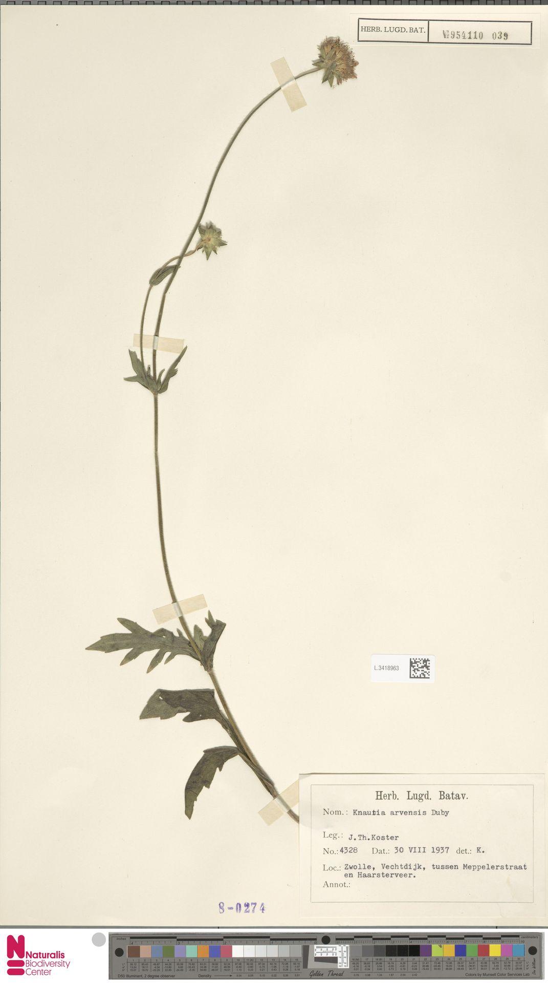 L.3418963 | Knautia arvensis (L.) Coult.