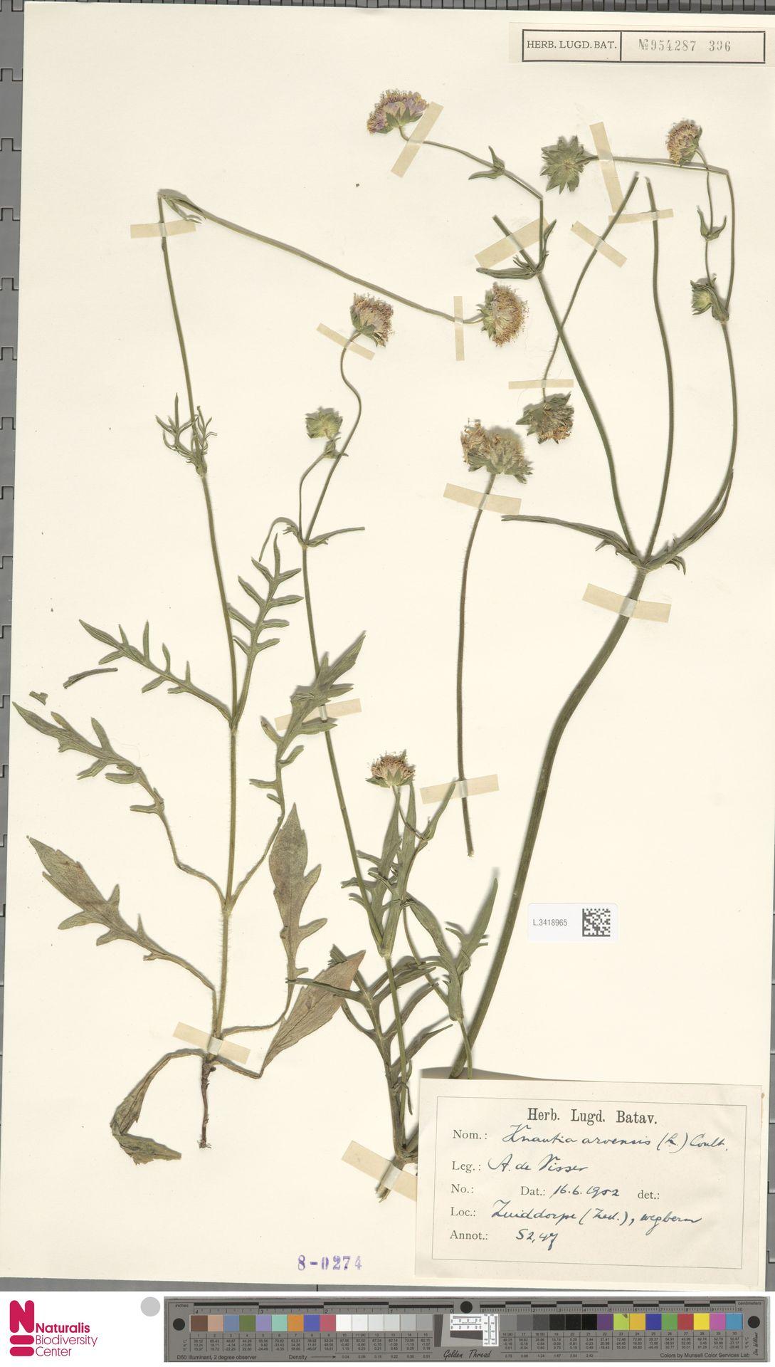 L.3418965 | Knautia arvensis (L.) Coult.
