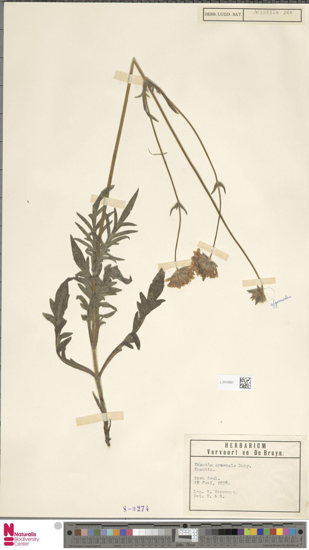 L.3418967 | Knautia arvensis (L.) Coult.