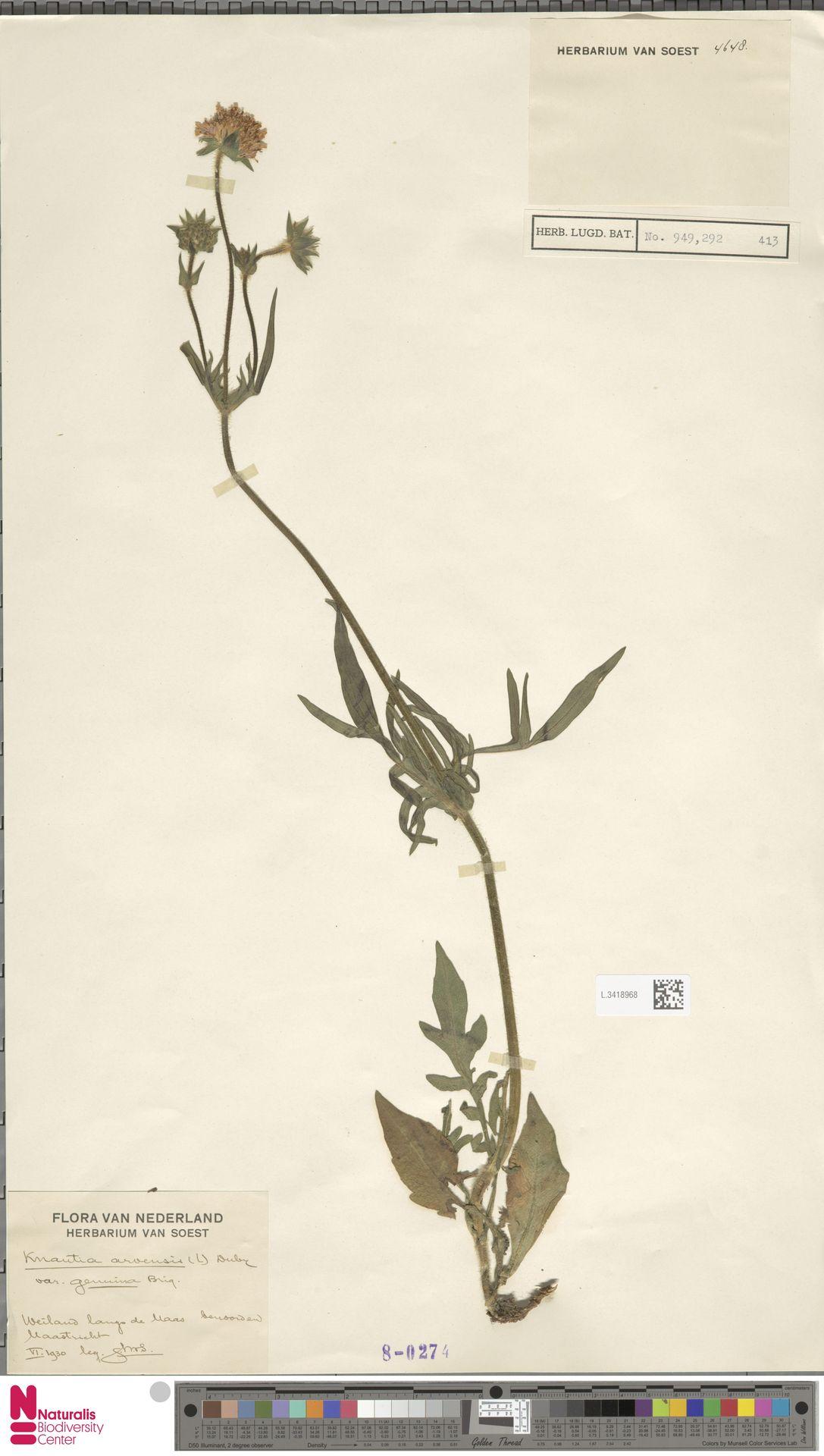 L.3418968 | Knautia arvensis (L.) Coult.