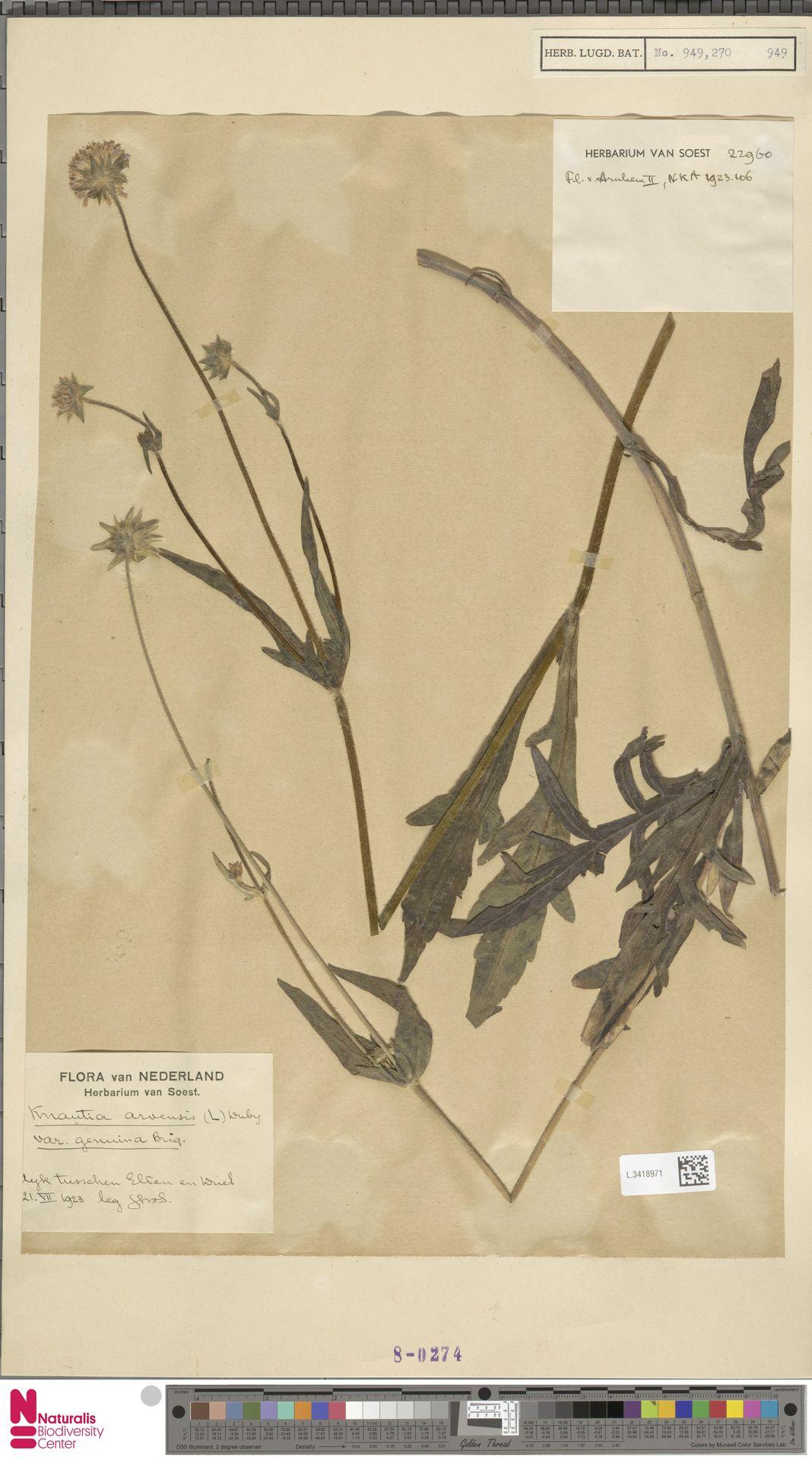 L.3418971 | Knautia arvensis (L.) Coult.