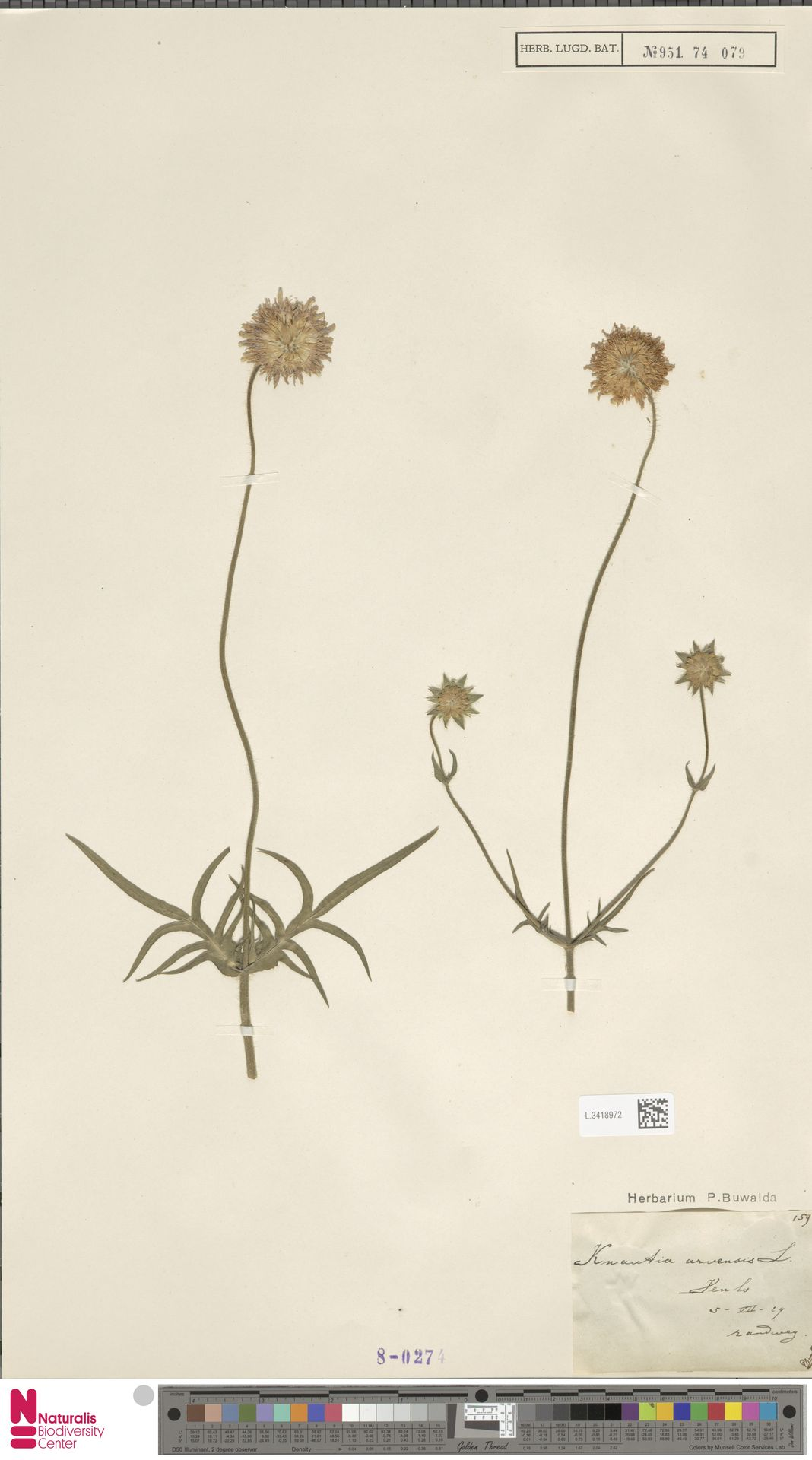 L.3418972 | Knautia arvensis (L.) Coult.