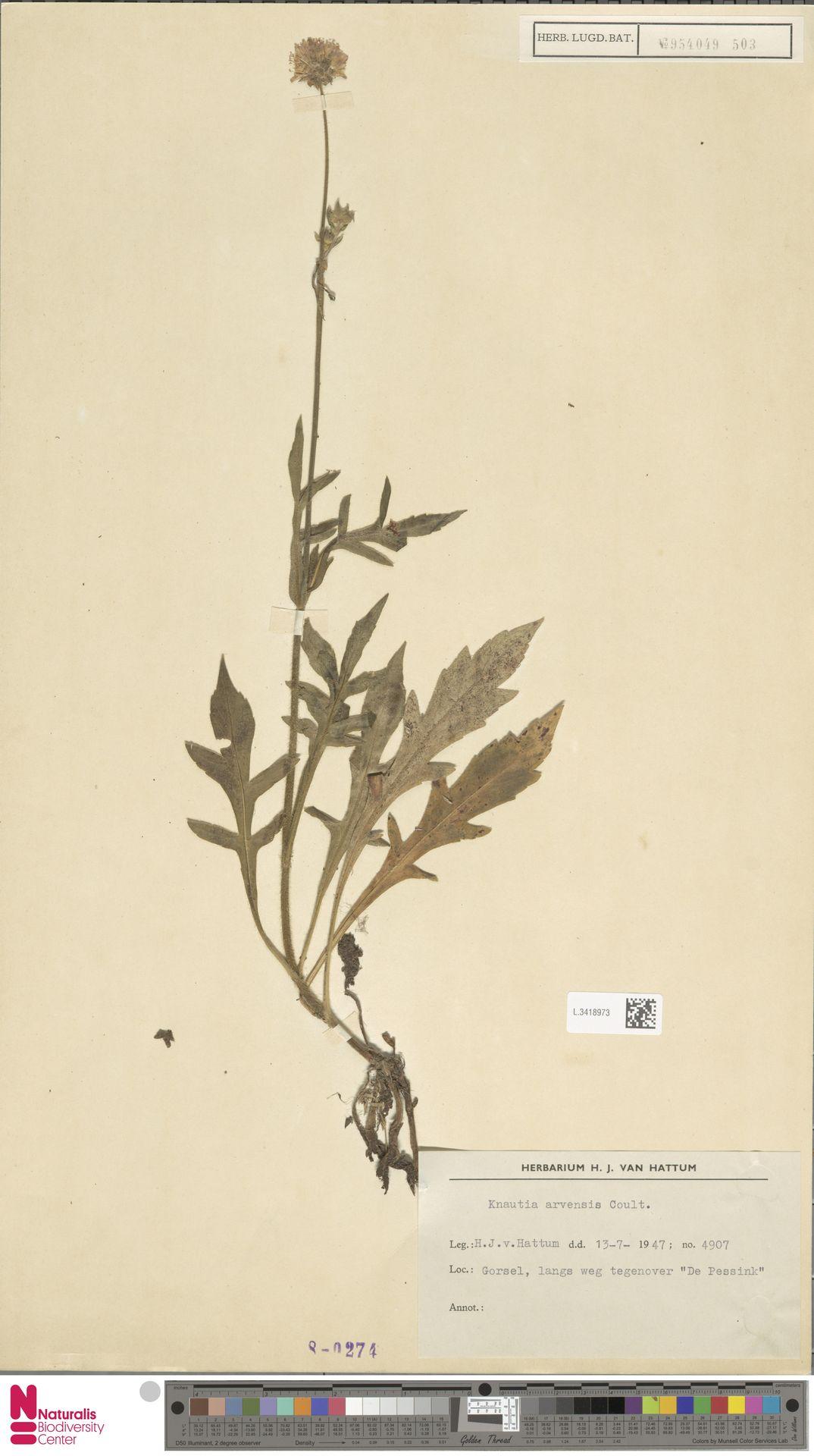 L.3418973 | Knautia arvensis (L.) Coult.