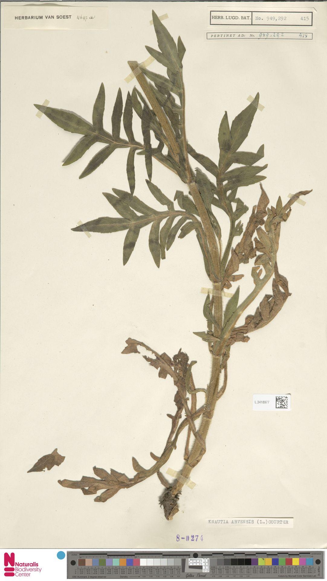 L.3418977 | Knautia arvensis (L.) Coult.