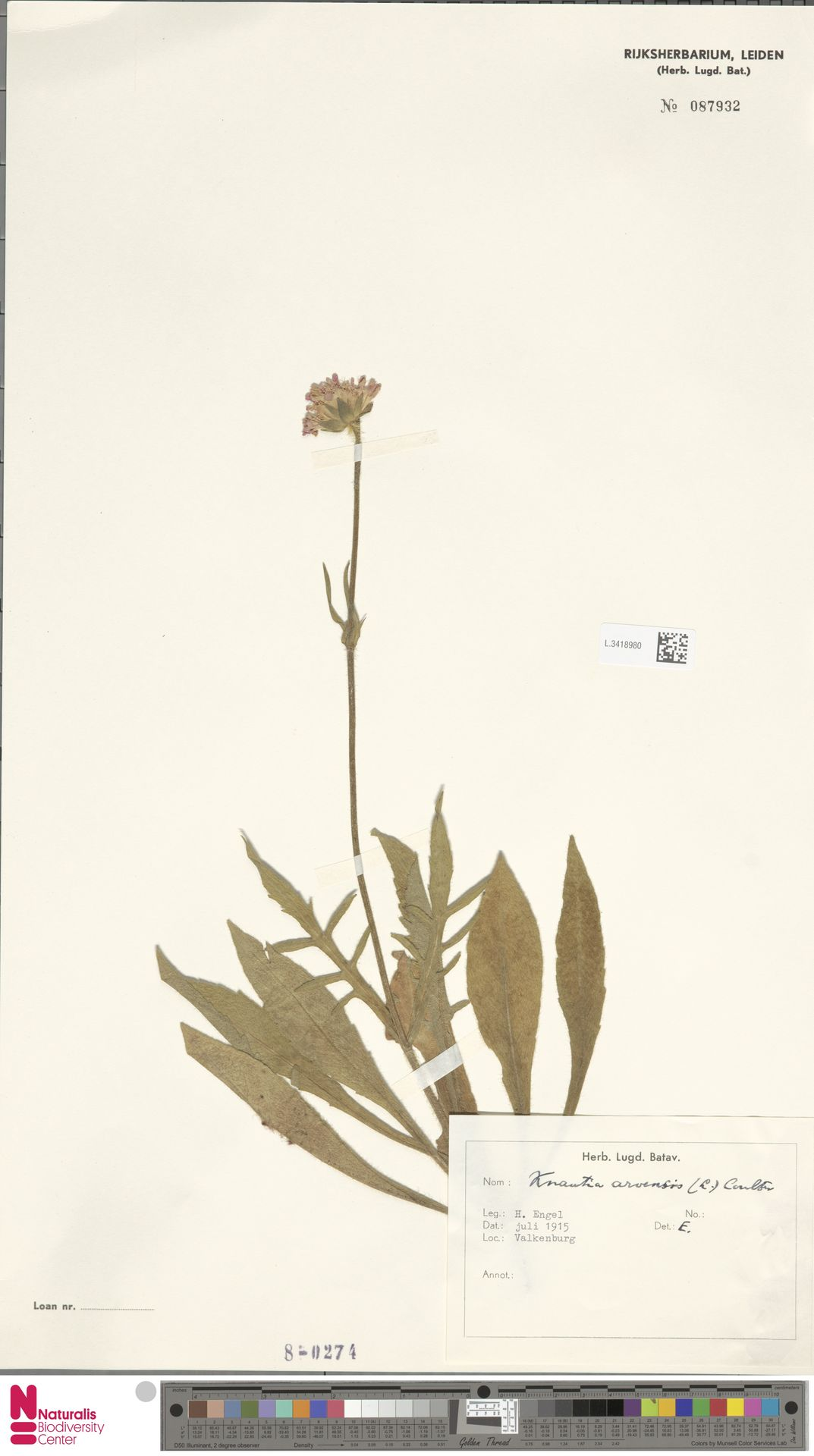 L.3418980 | Knautia arvensis (L.) Coult.