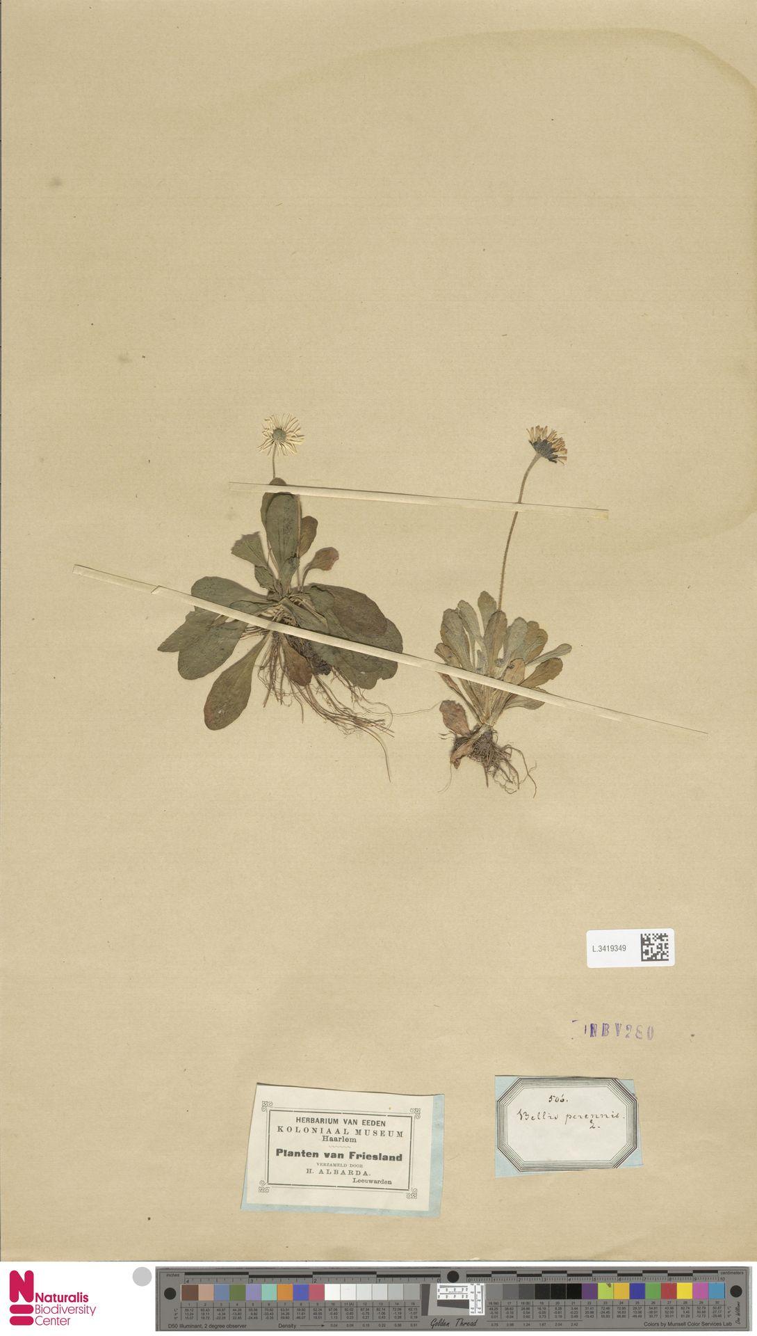 L.3419349 | Bellis perennis L.