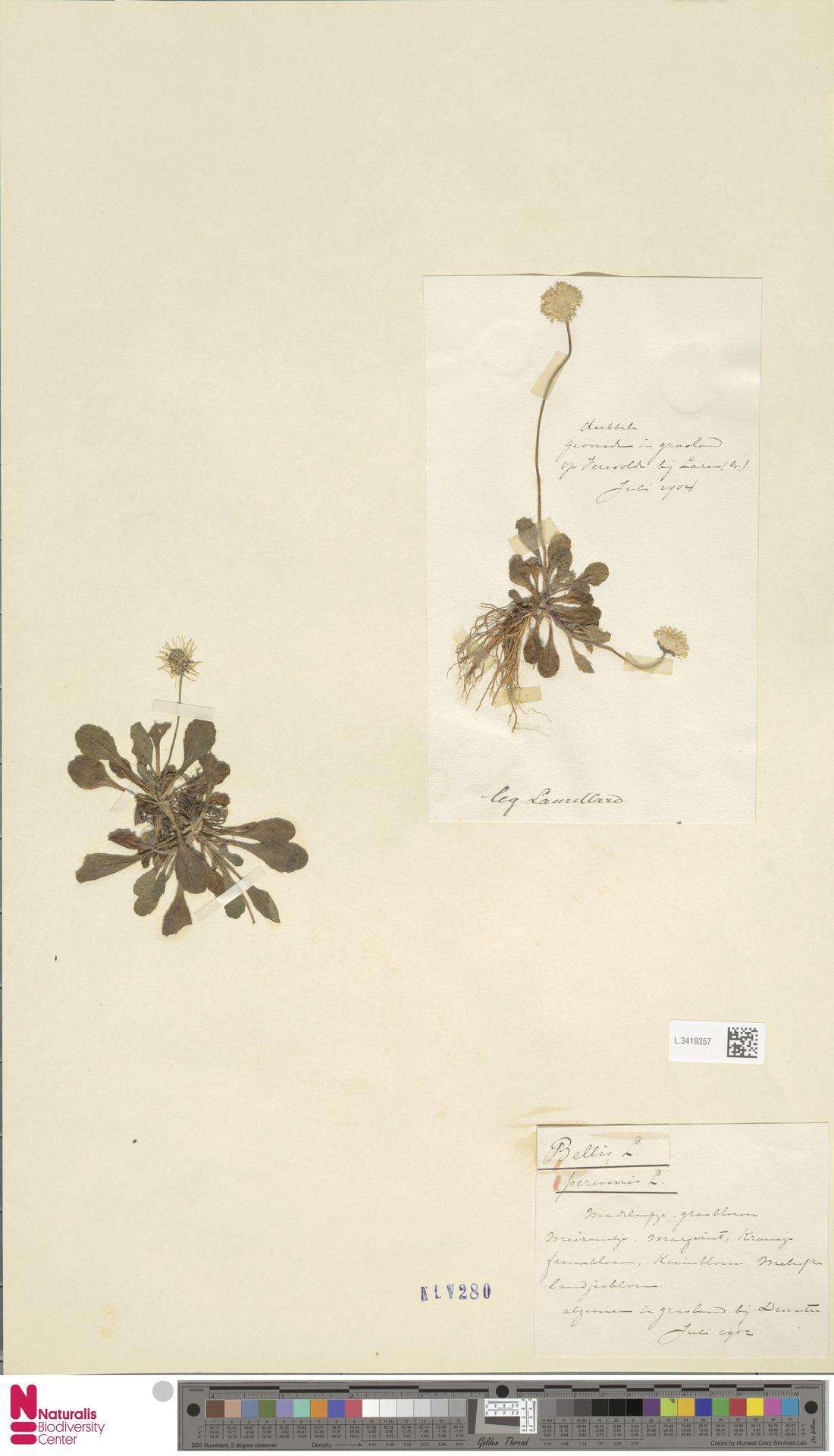 L.3419357   Bellis perennis L.