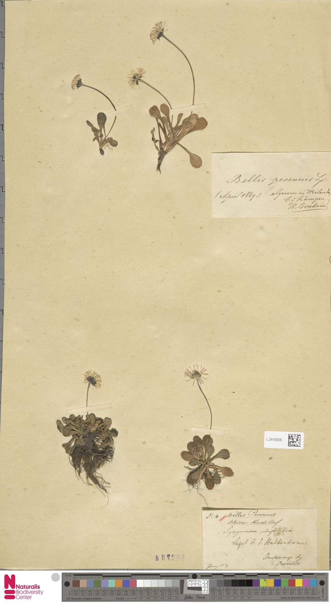 L.3419358 | Bellis perennis L.