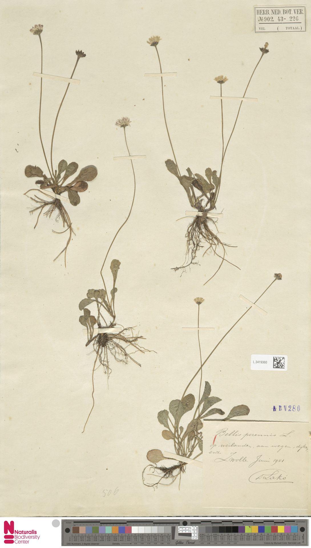 L.3419360 | Bellis perennis L.