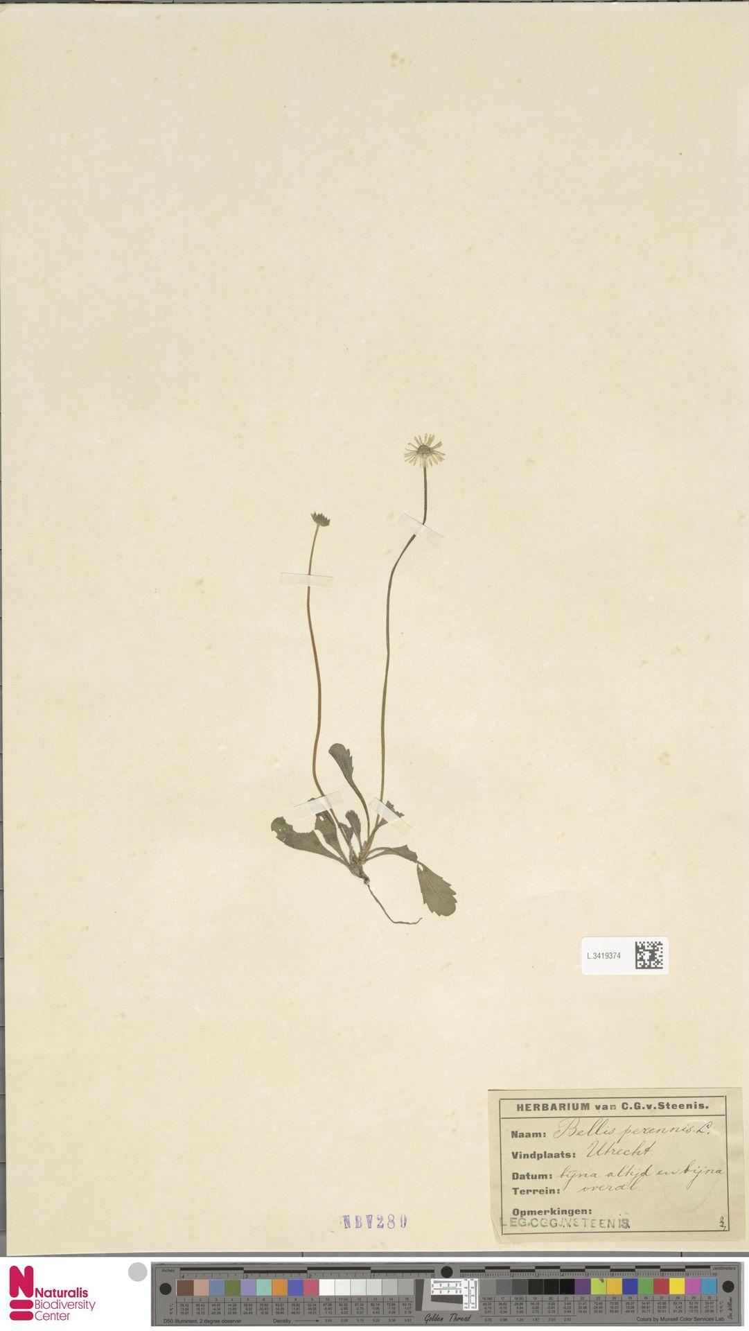 L.3419374 | Bellis perennis L.