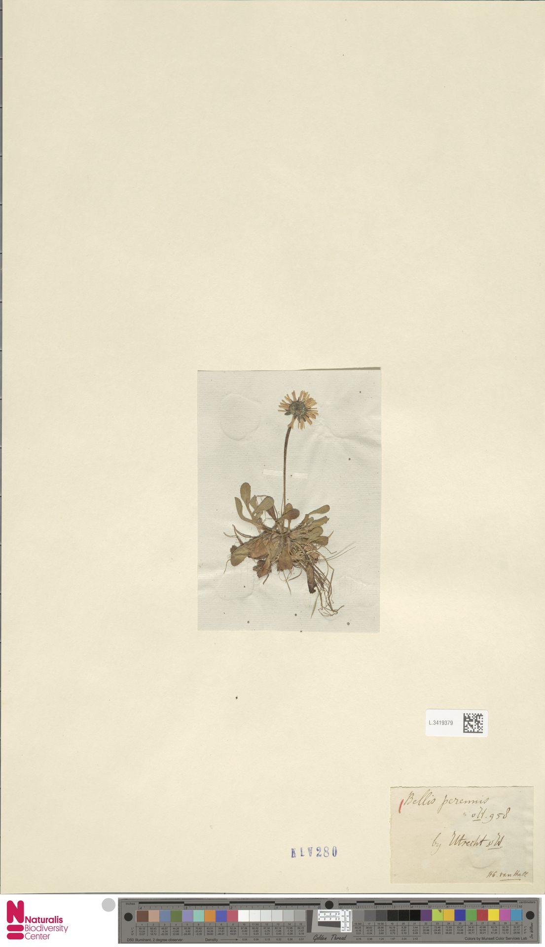 L.3419379 | Bellis perennis L.