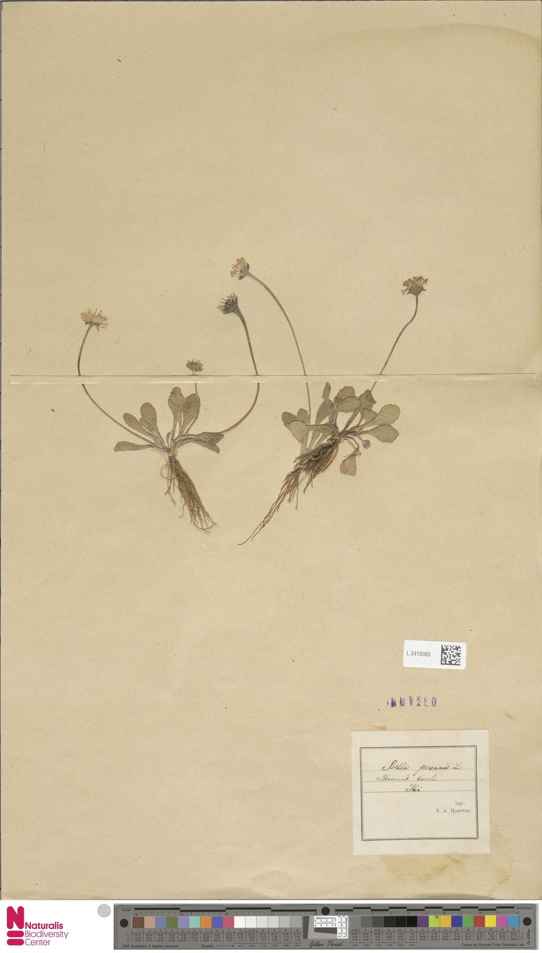 L.3419385 | Bellis perennis L.