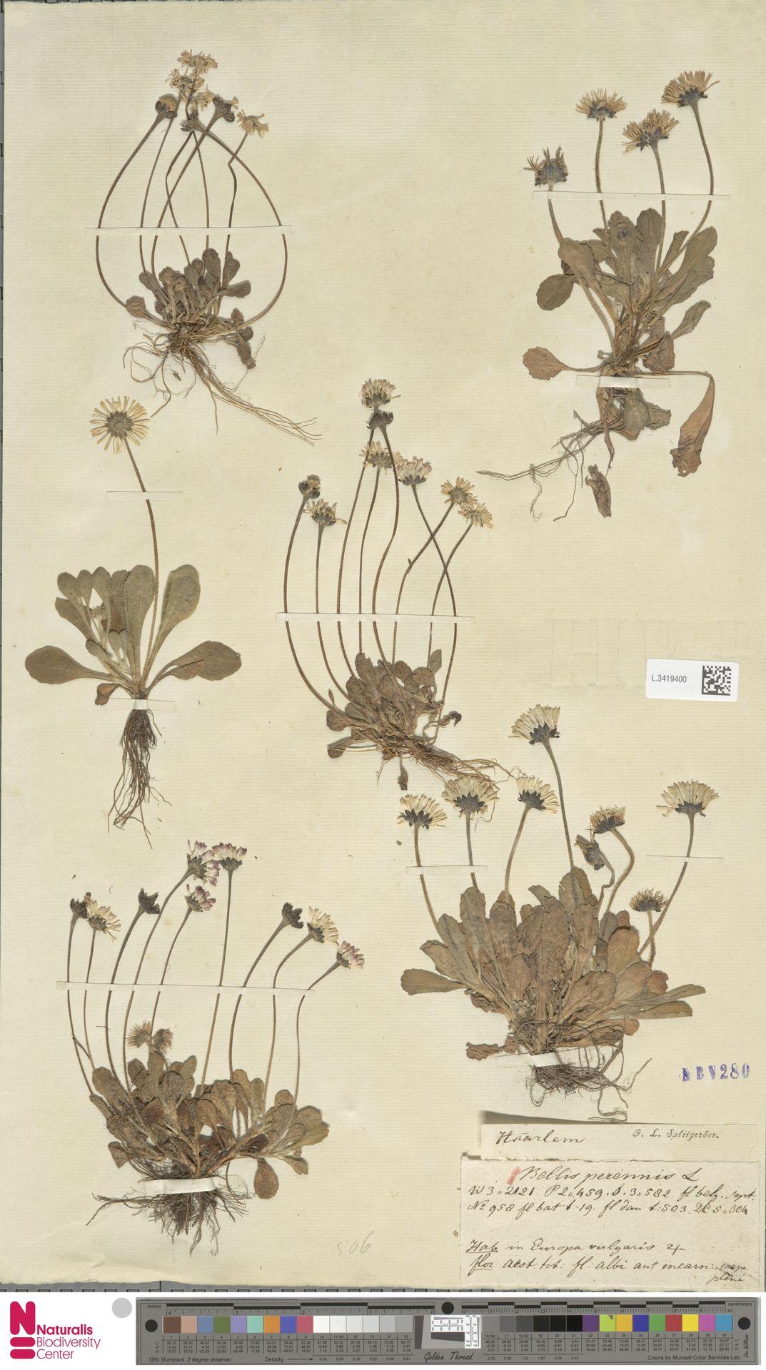 L.3419400 | Bellis perennis L.
