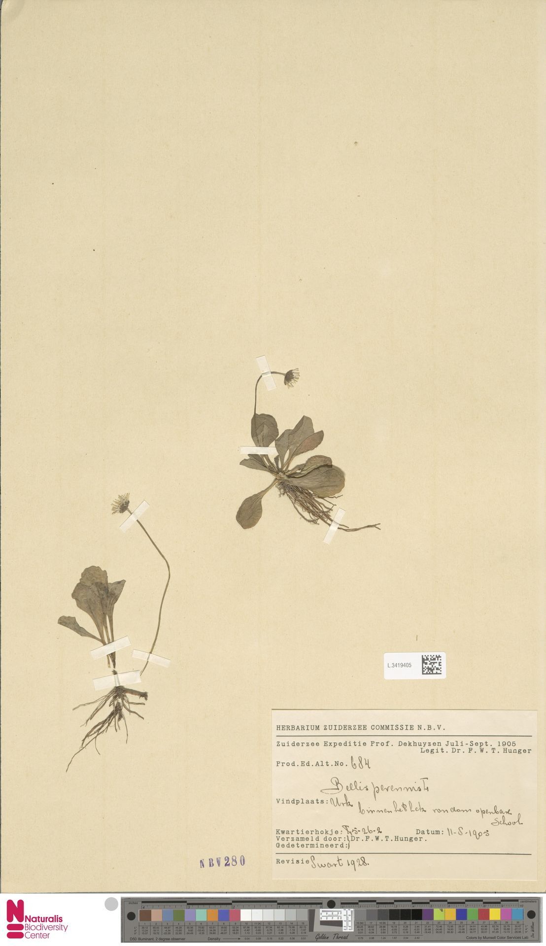 L.3419405 | Bellis perennis L.