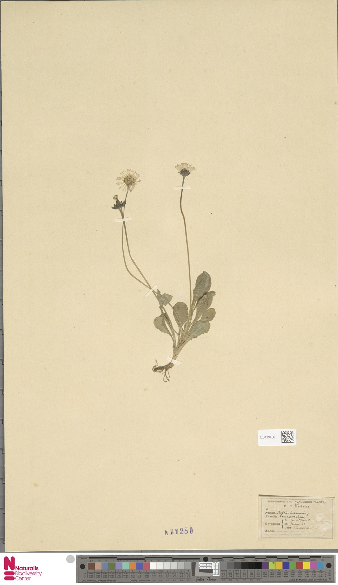 L.3419406 | Bellis perennis L.