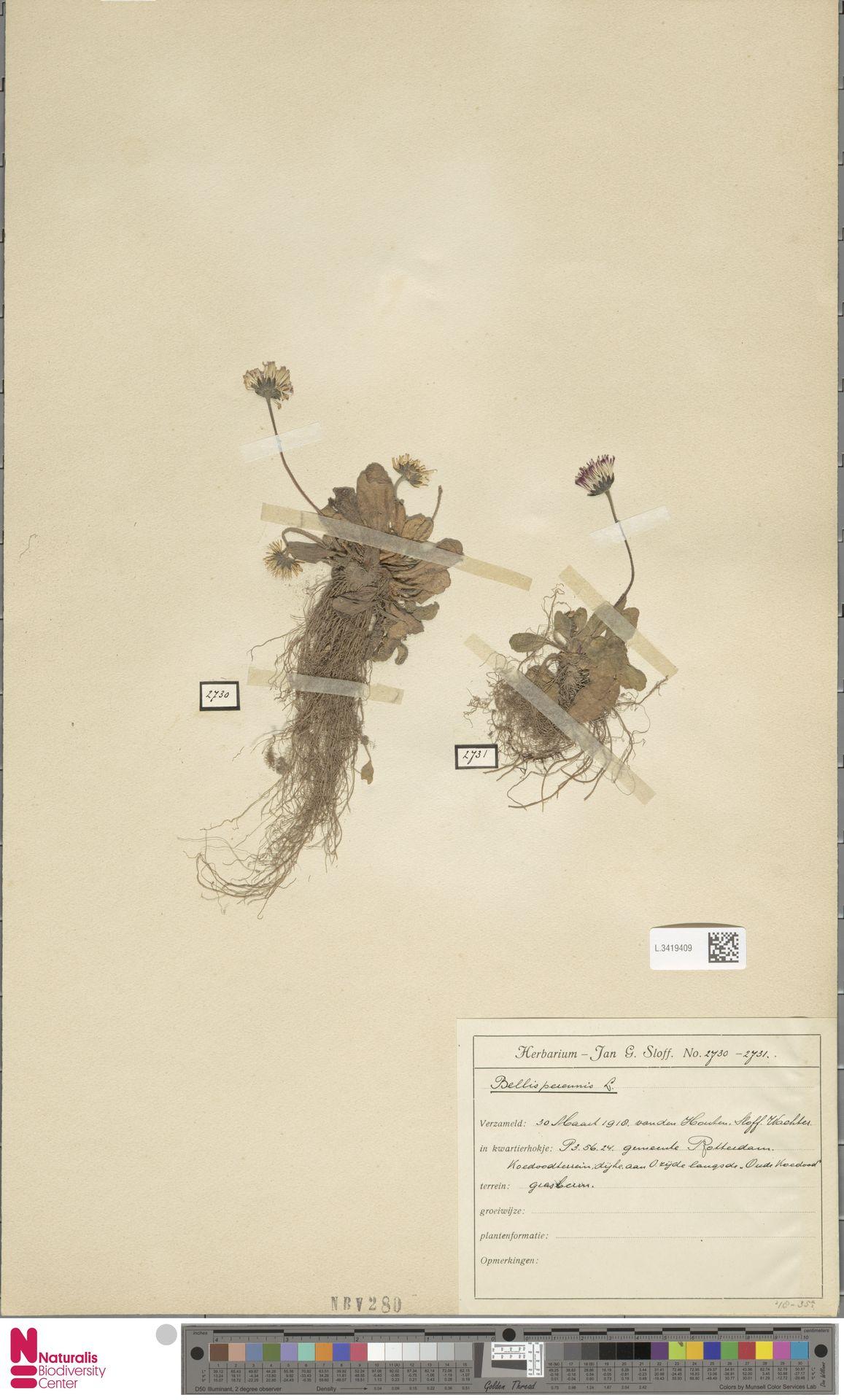 L.3419409 | Bellis perennis L.