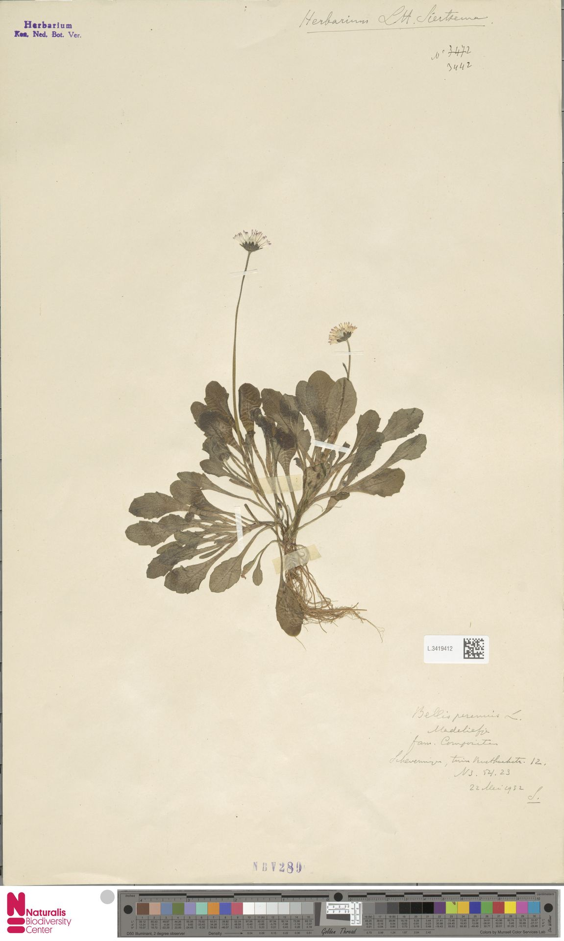 L.3419412 | Bellis perennis L.