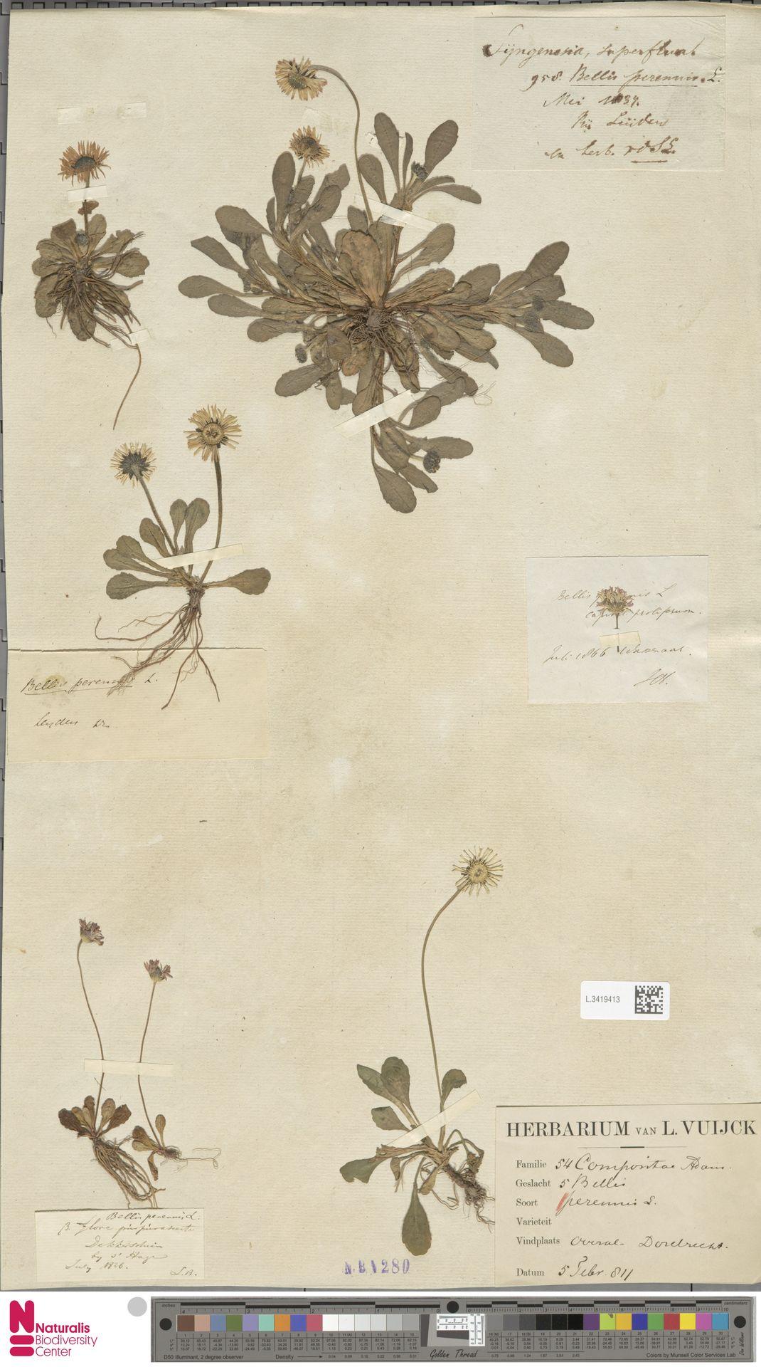 L.3419413 | Bellis perennis L.