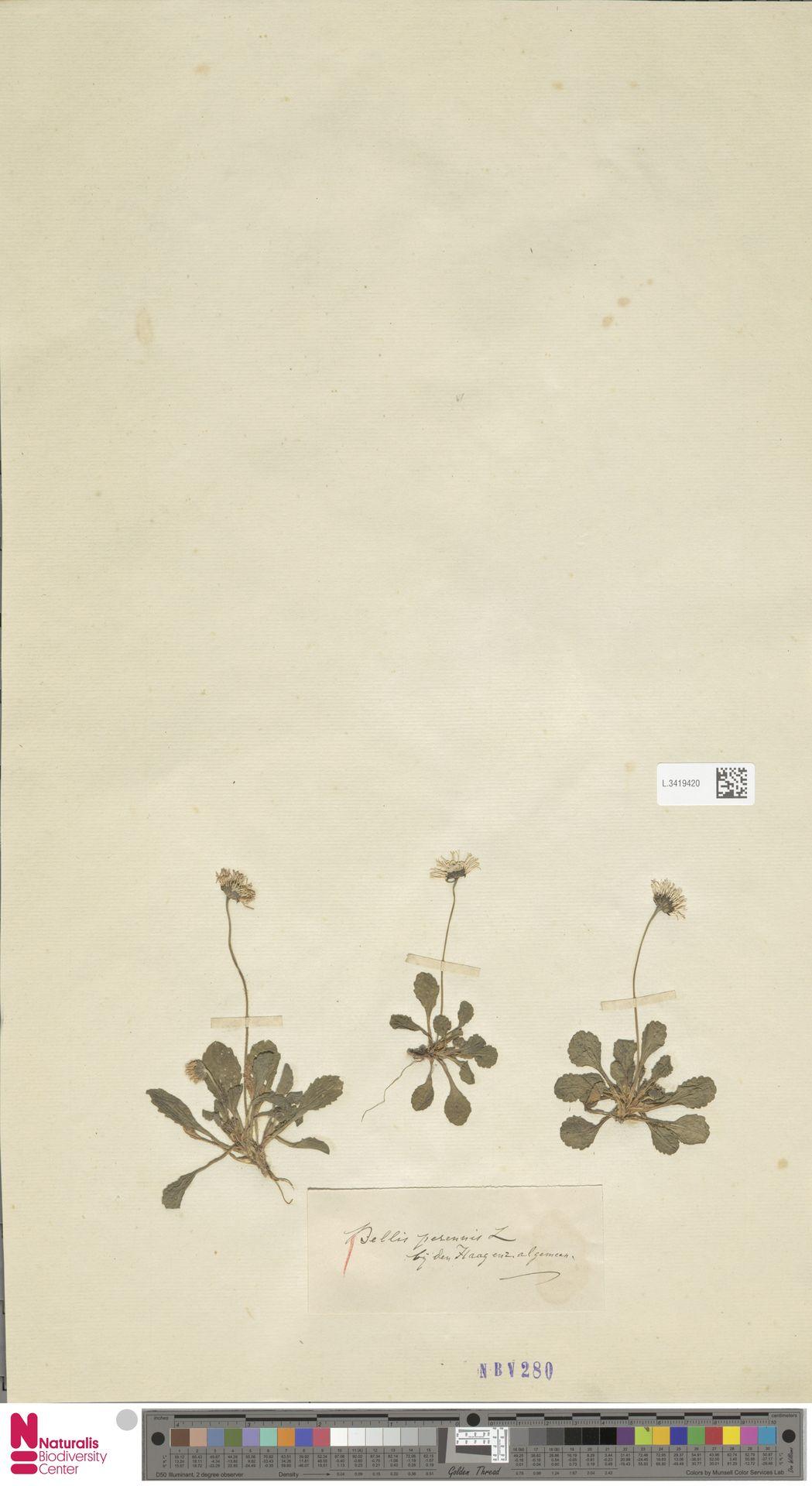 L.3419420   Bellis perennis L.