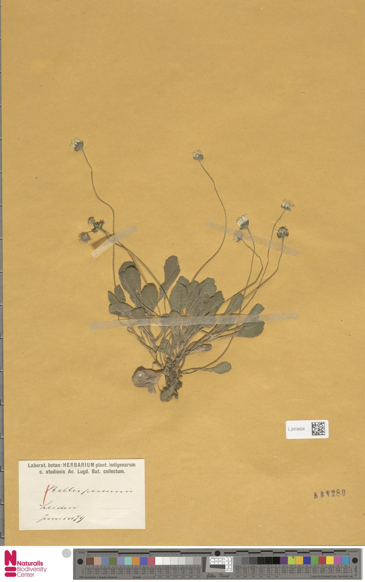 L.3419434 | Bellis perennis L.