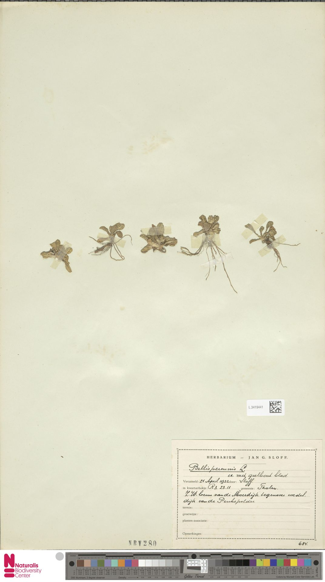 L.3419441 | Bellis perennis L.