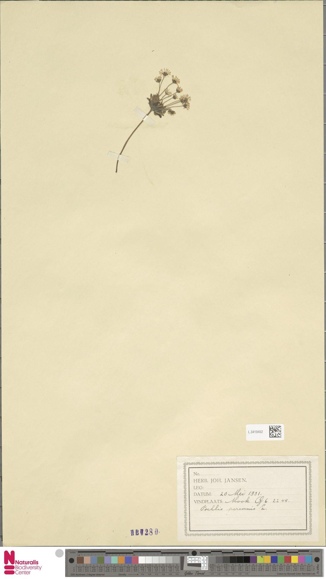 L.3419452 | Bellis perennis L.