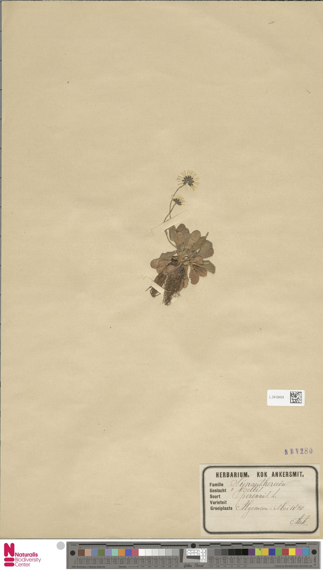 L.3419454   Bellis perennis L.
