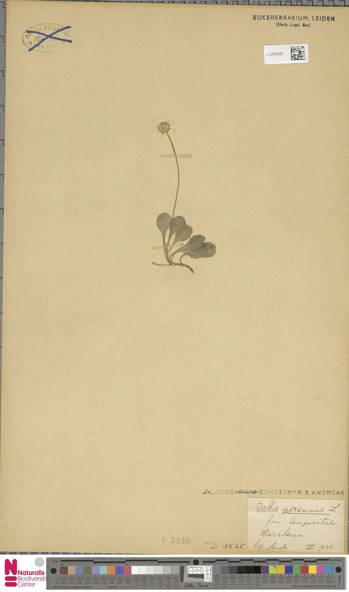 L.3419481 | Bellis perennis L.