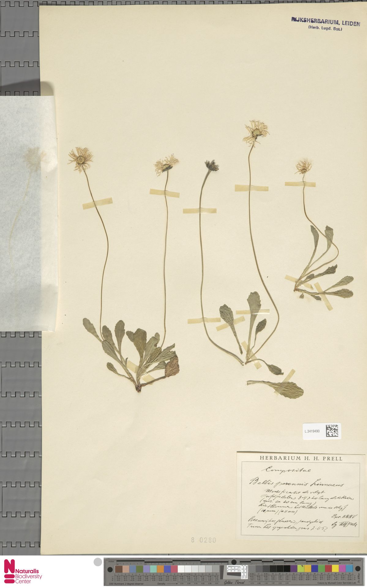 L.3419490 | Bellis perennis L.