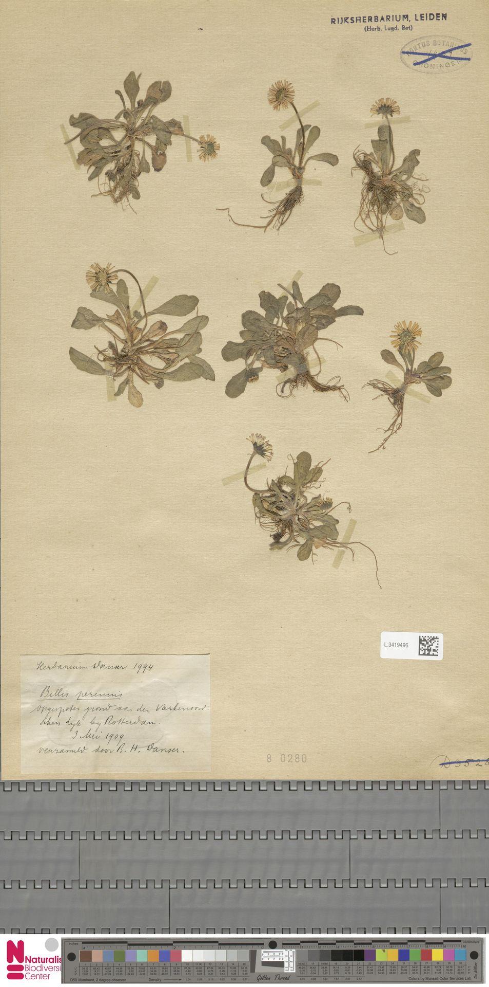 L.3419496 | Bellis perennis L.
