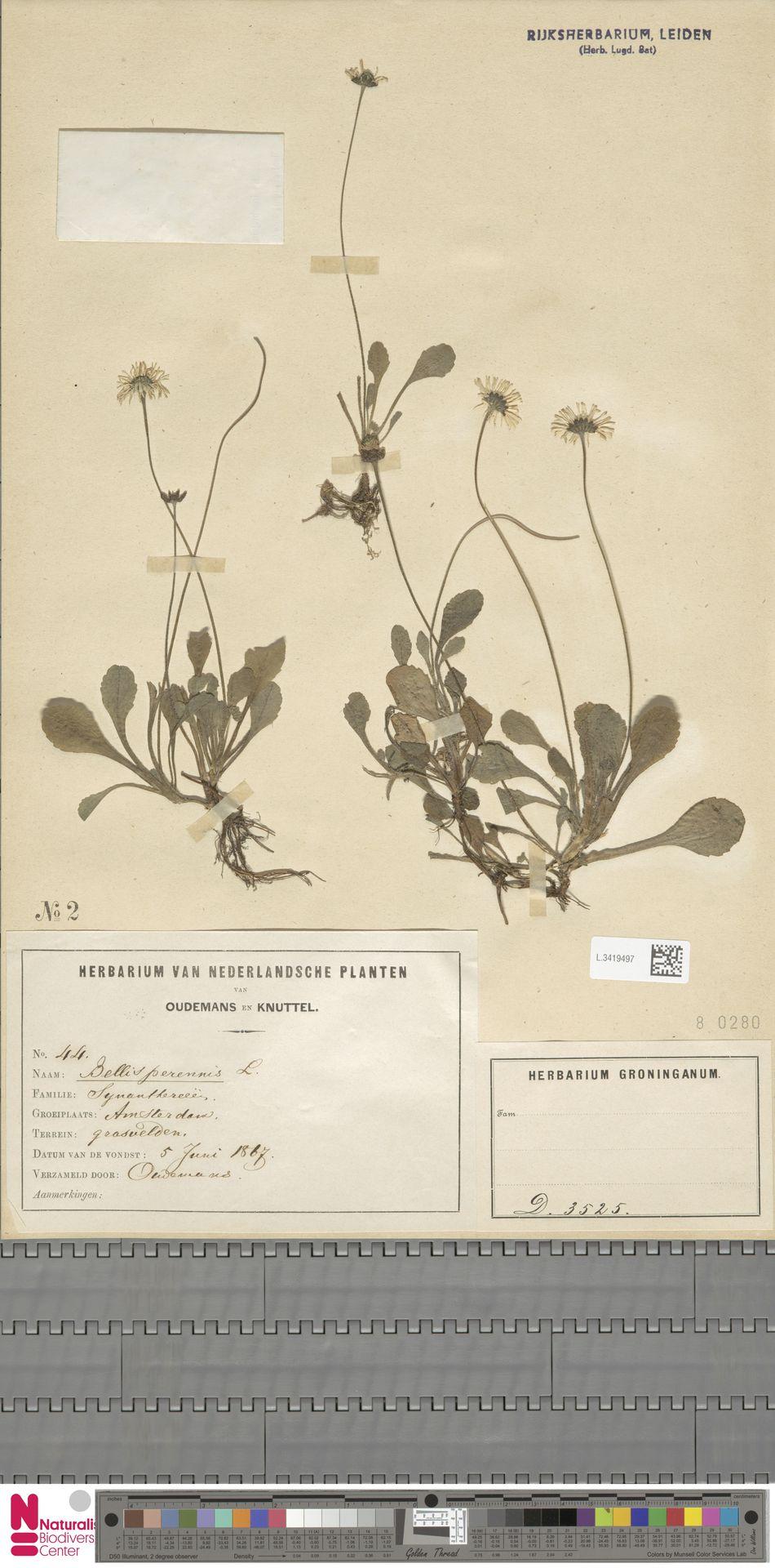 L.3419497 | Bellis perennis L.