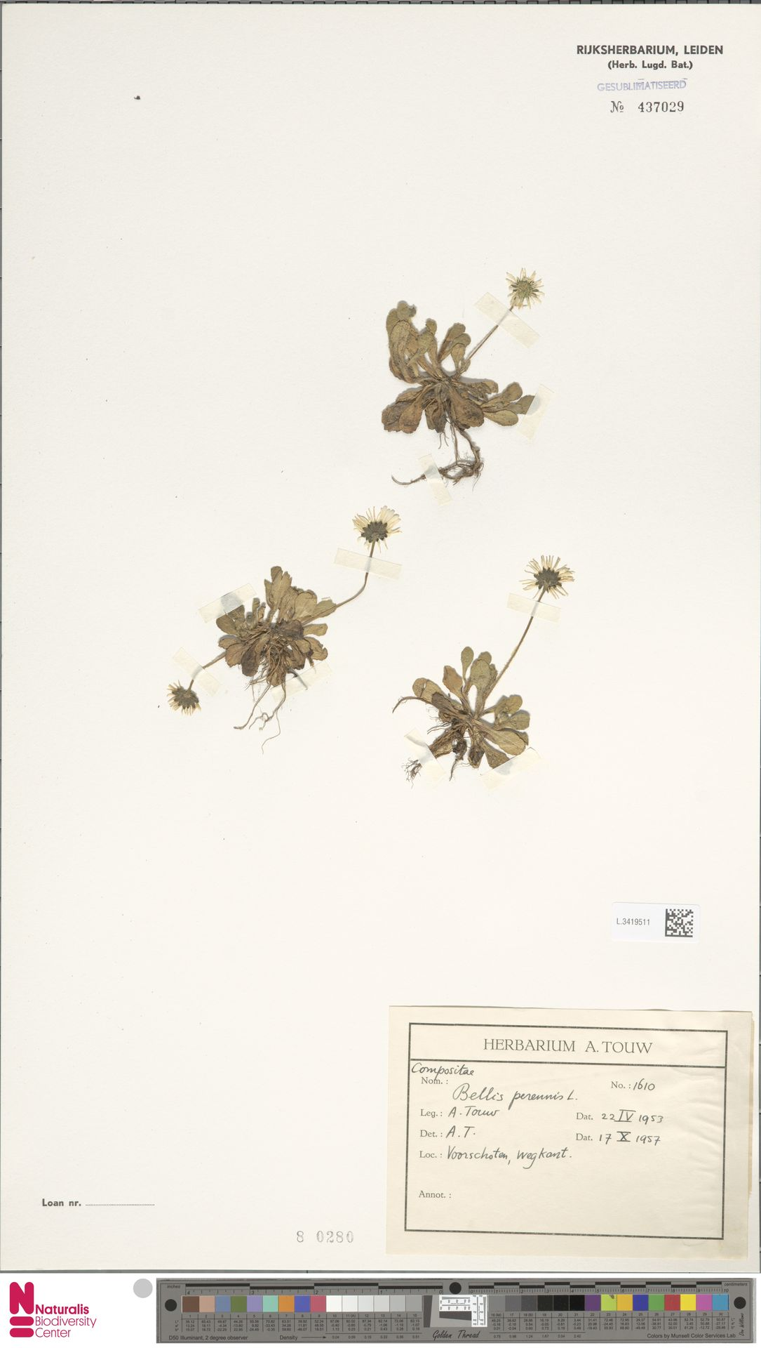L.3419511   Bellis perennis L.