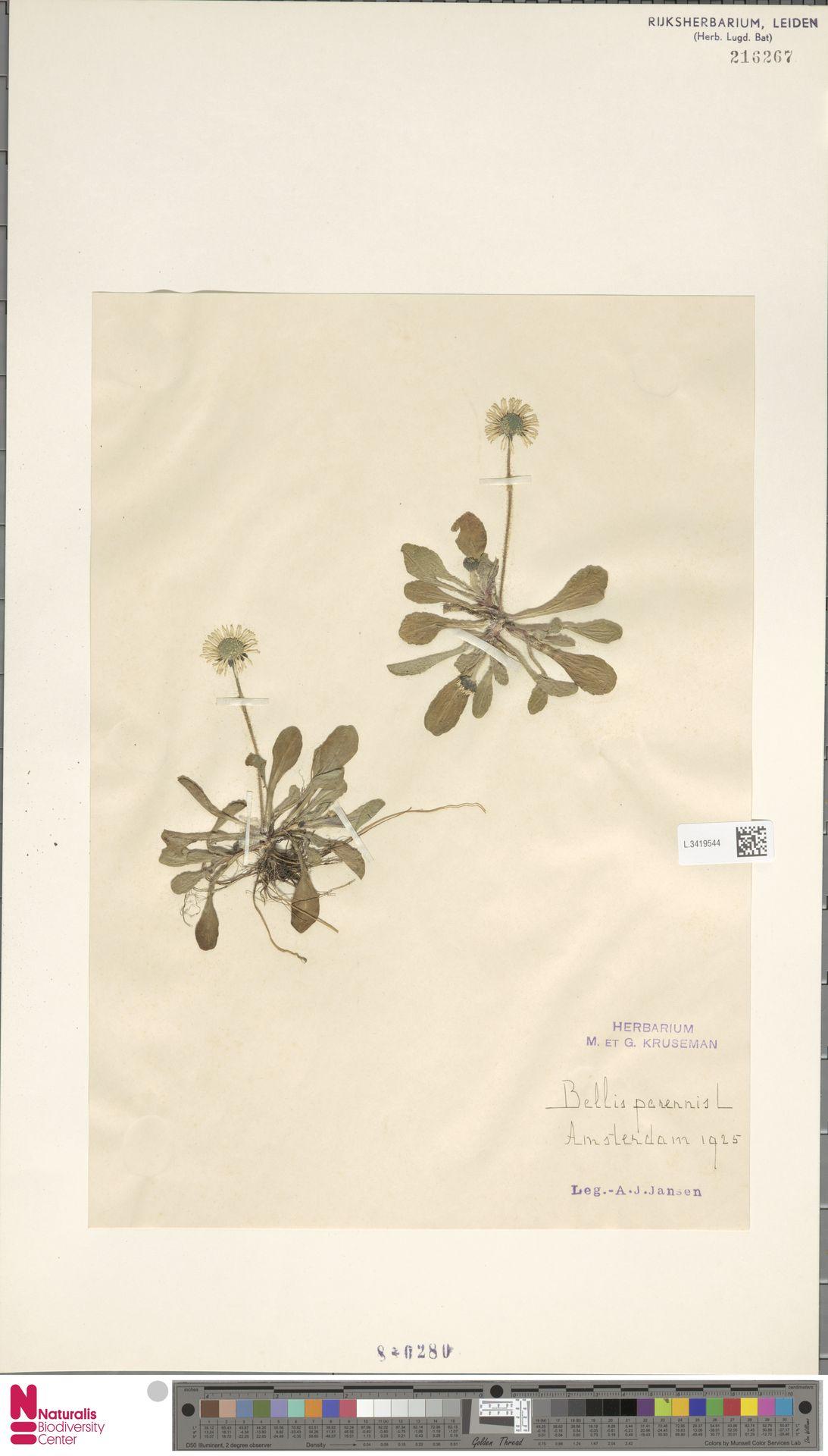 L.3419544 | Bellis perennis L.