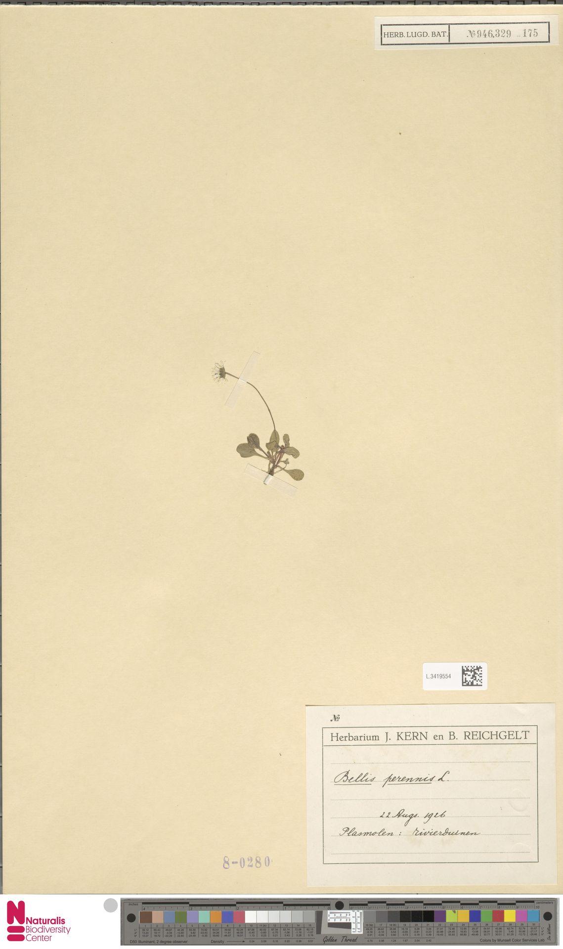 L.3419554 | Bellis perennis L.