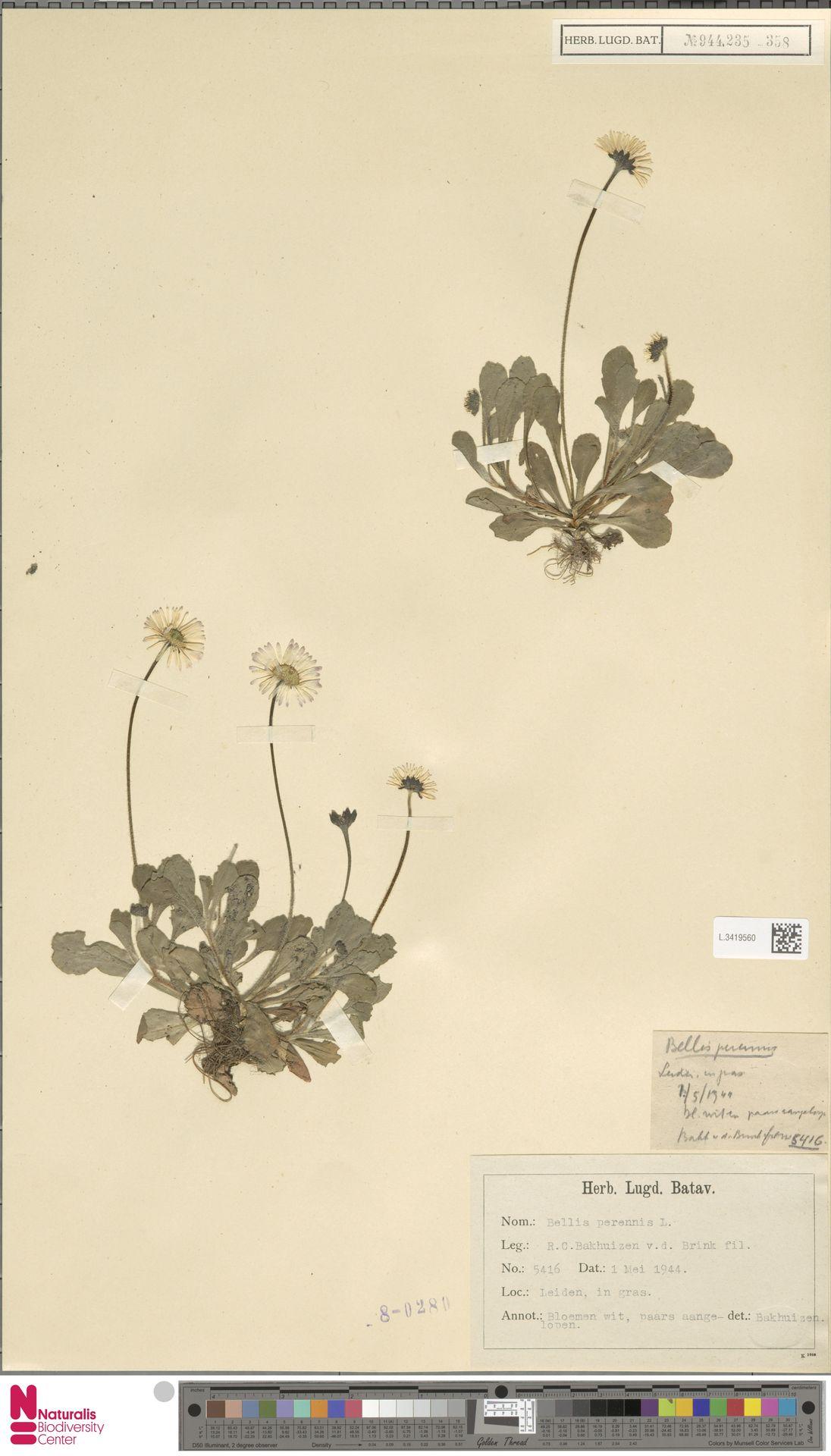 L.3419560 | Bellis perennis L.